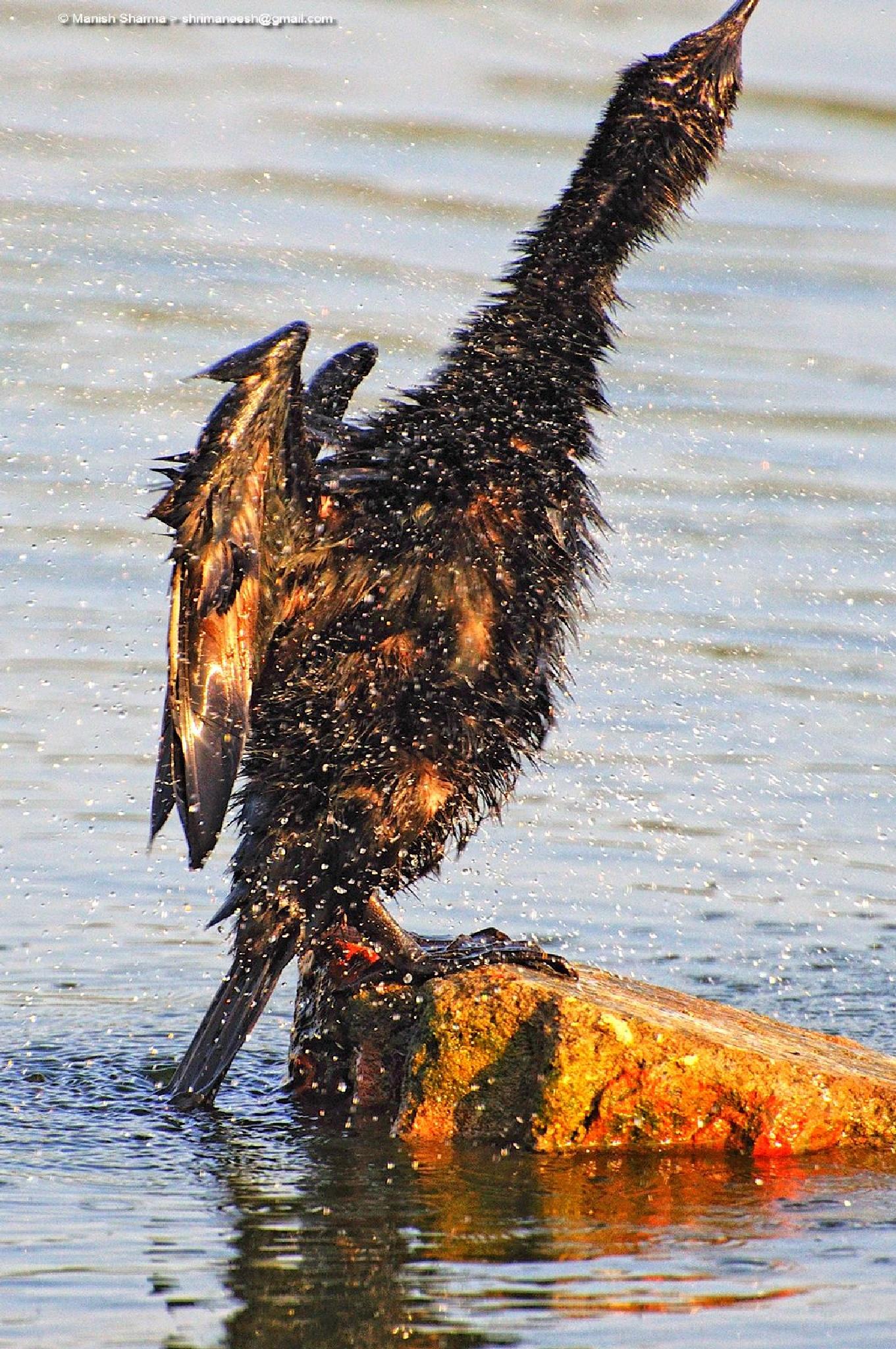 Little Black Cormorant by Maneesh Sharma