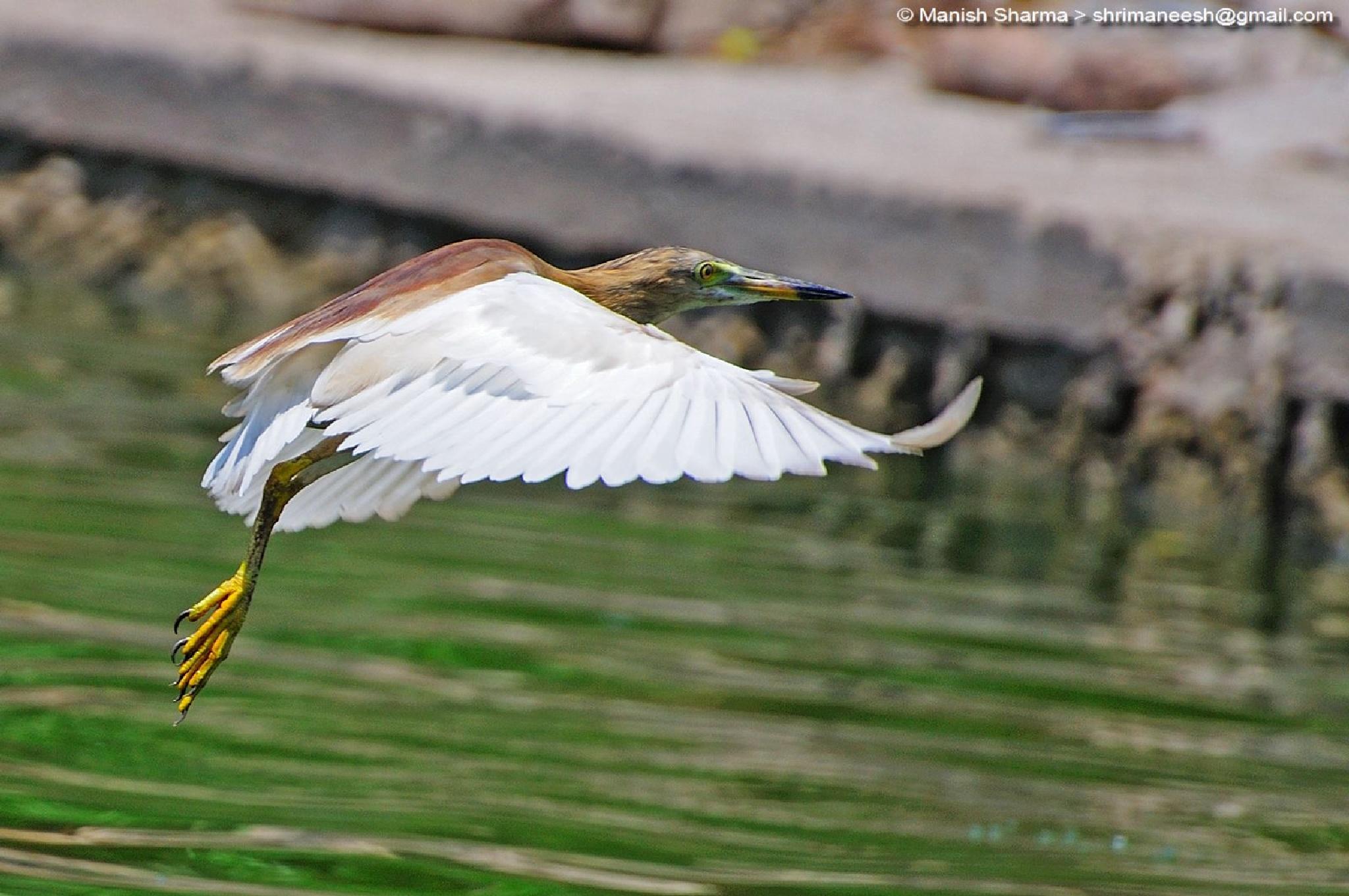 Indian Pond heron...Scientific name: Ardeola grayii by Maneesh Sharma