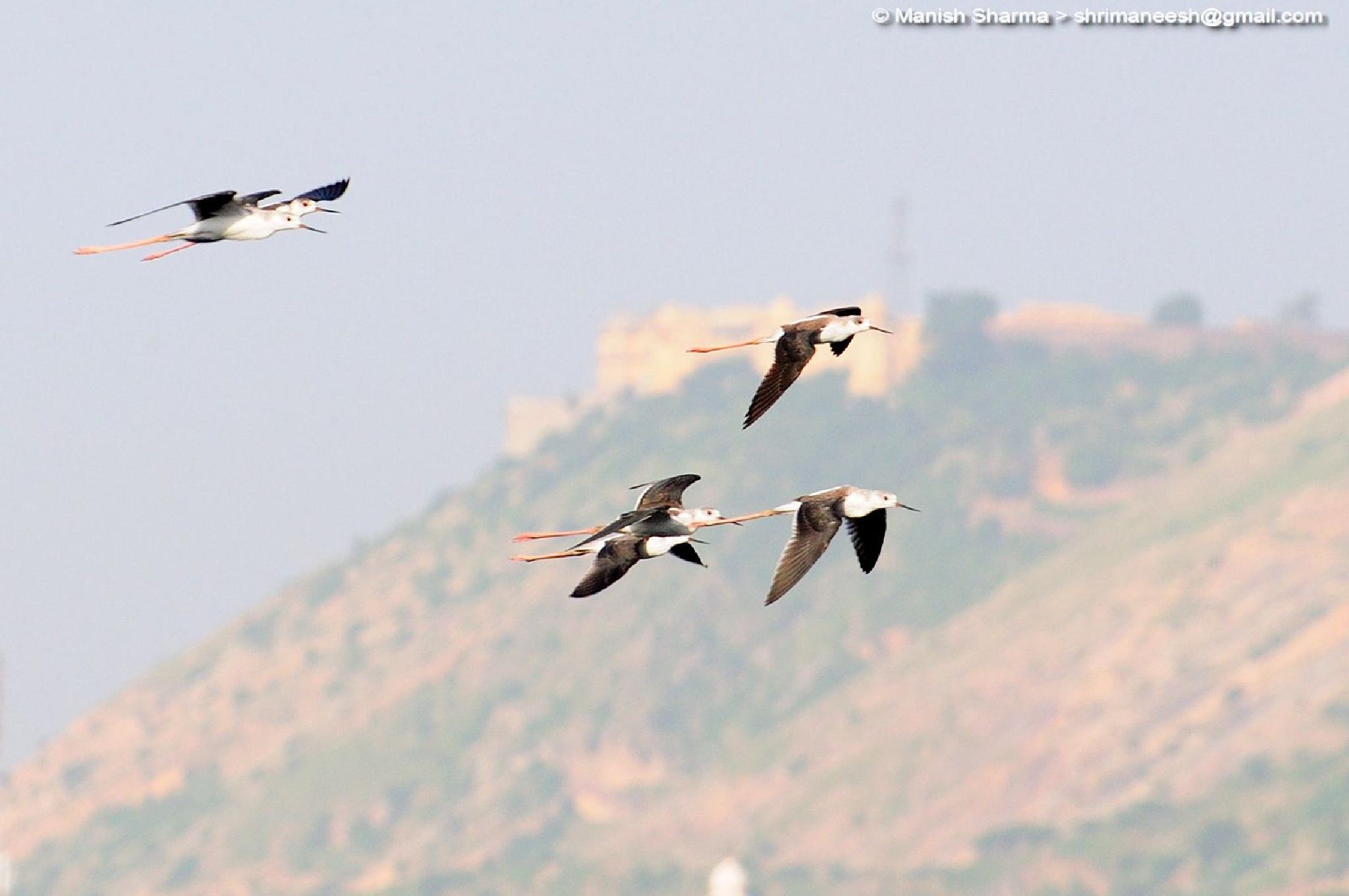 Black winged stilts....Scientific name: Himantopus himantopus by Maneesh Sharma