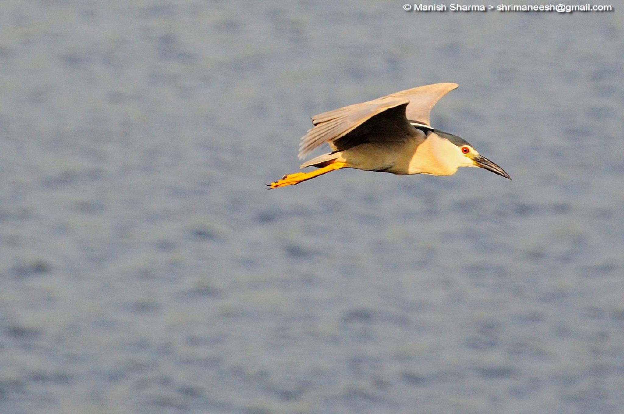 Black crowned night heron by Maneesh Sharma