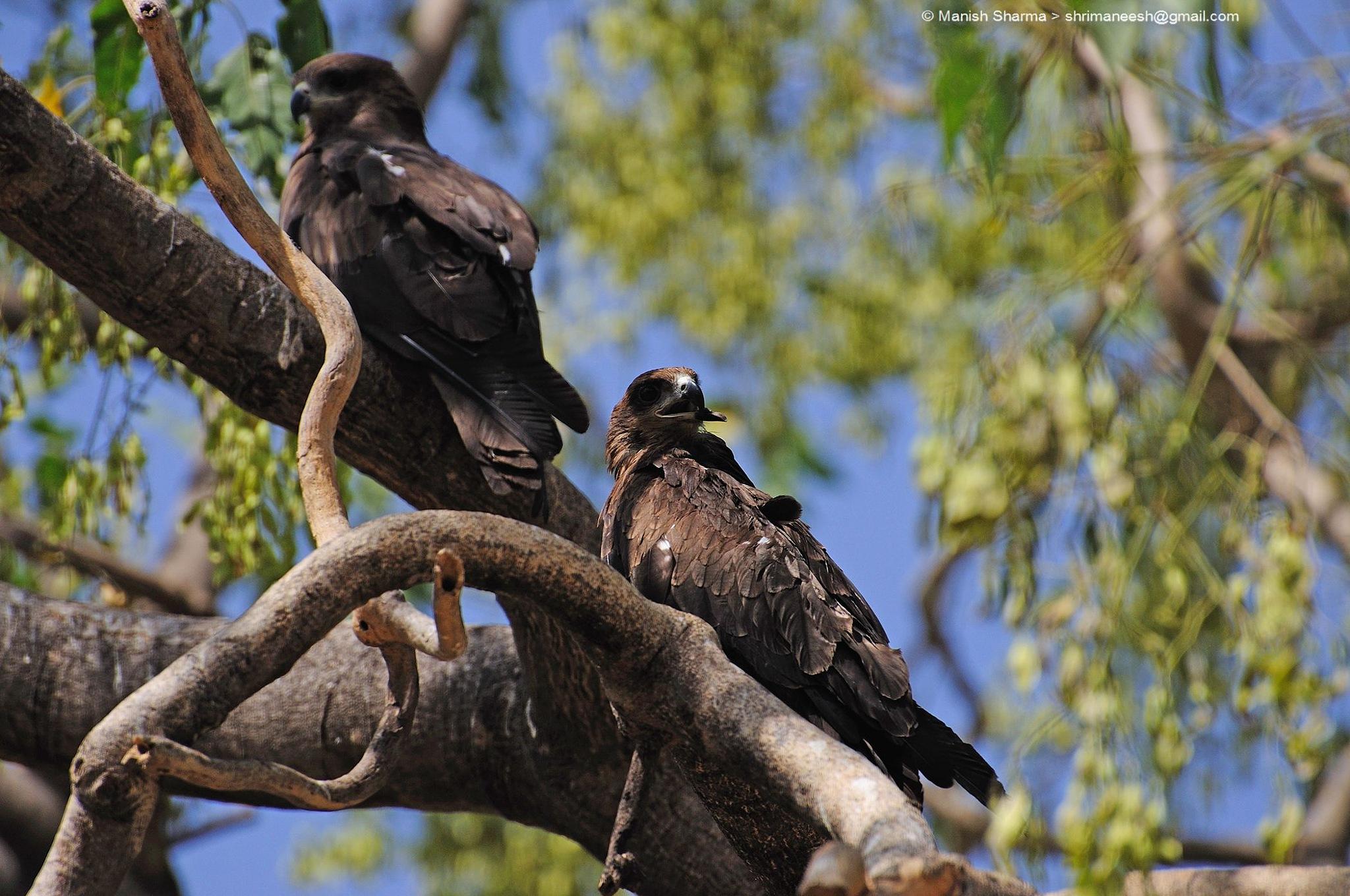 Black Kite...Scientific name: Milvus migrans by Maneesh Sharma