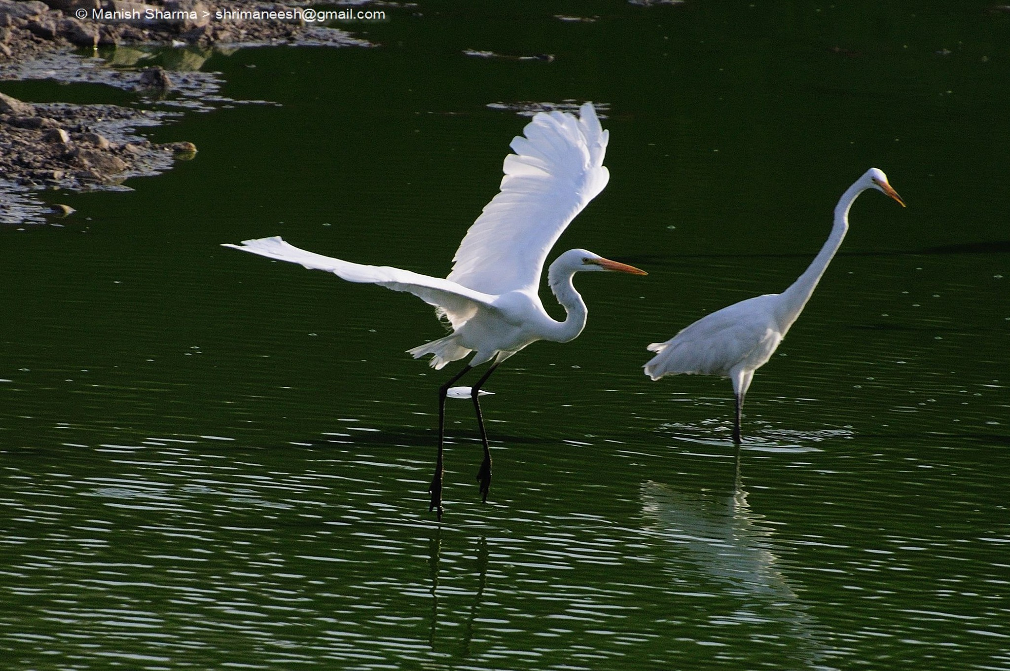 Great Egret....Scientific name: Ardea alba. by Maneesh Sharma