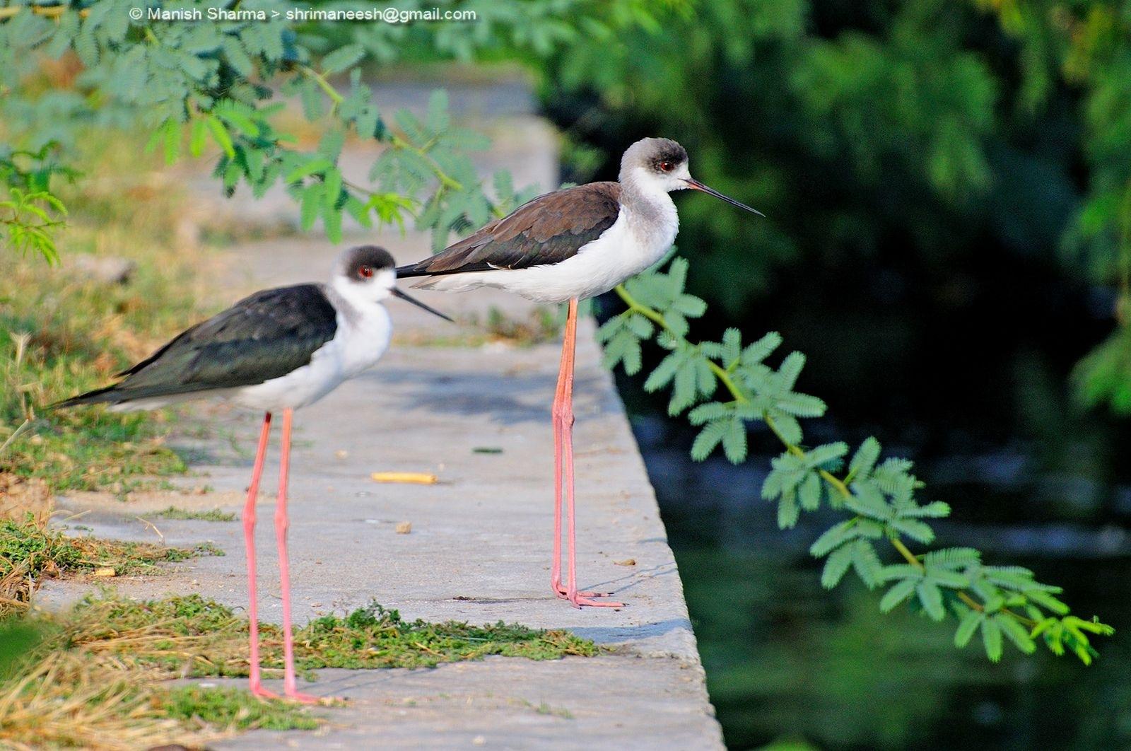 Black winged stilt....Scientific name: Himantopus himantopus by Maneesh Sharma