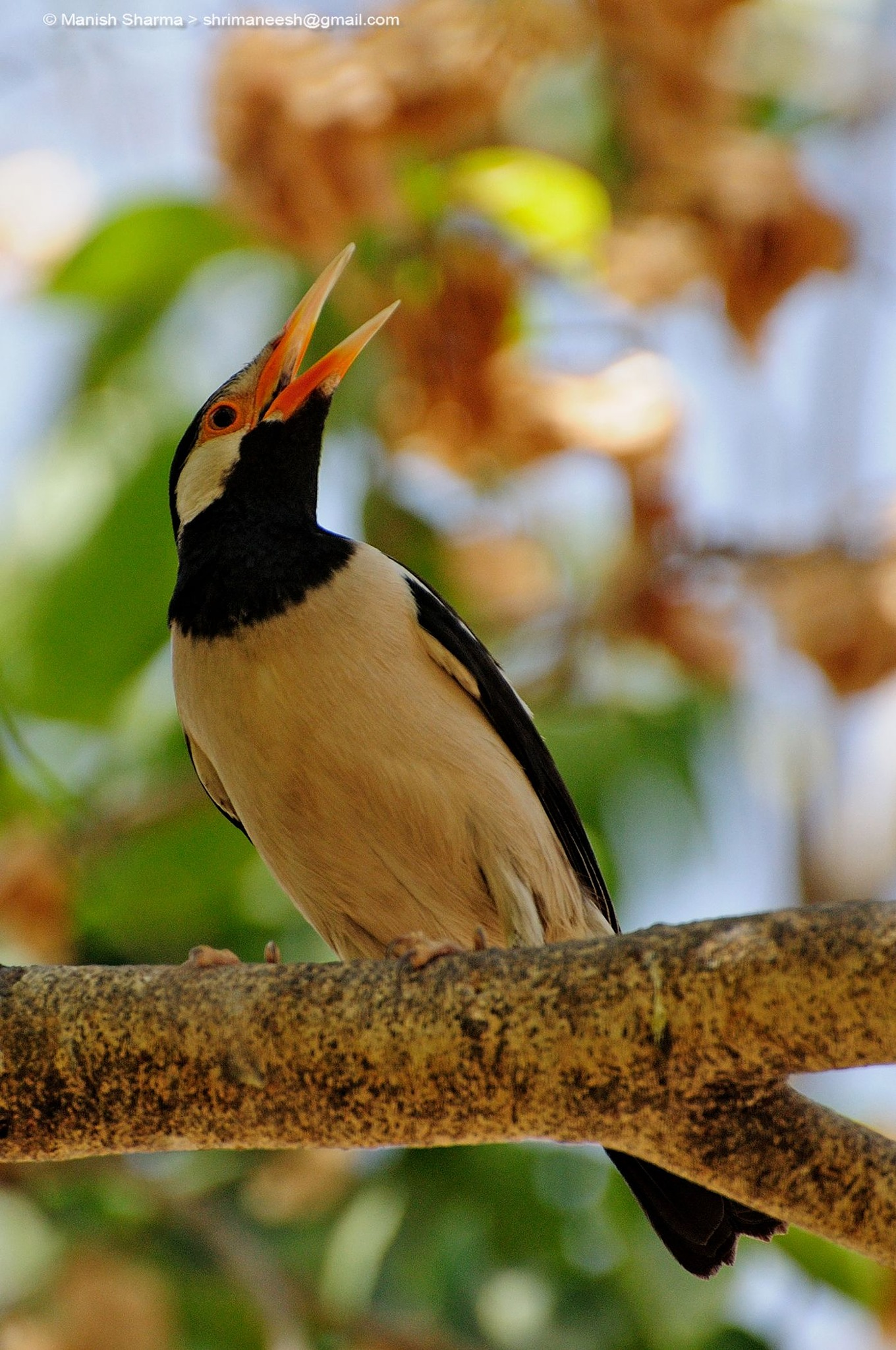Pied myna or Asian pied starling...Scientific name: Gracupica contra by Maneesh Sharma