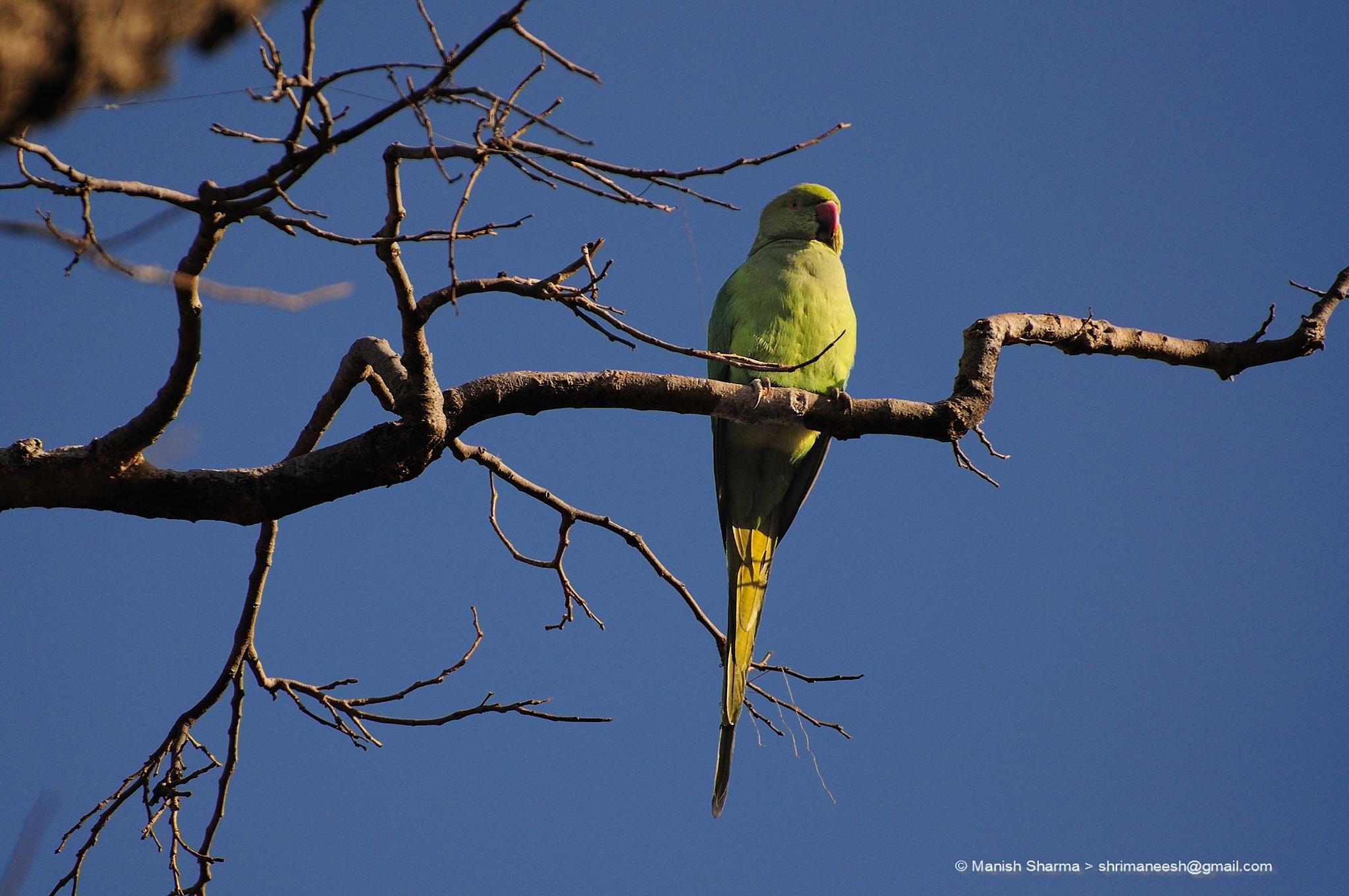 Rose ringed parakeet...Scientific name: Psittacula krameri by Maneesh Sharma