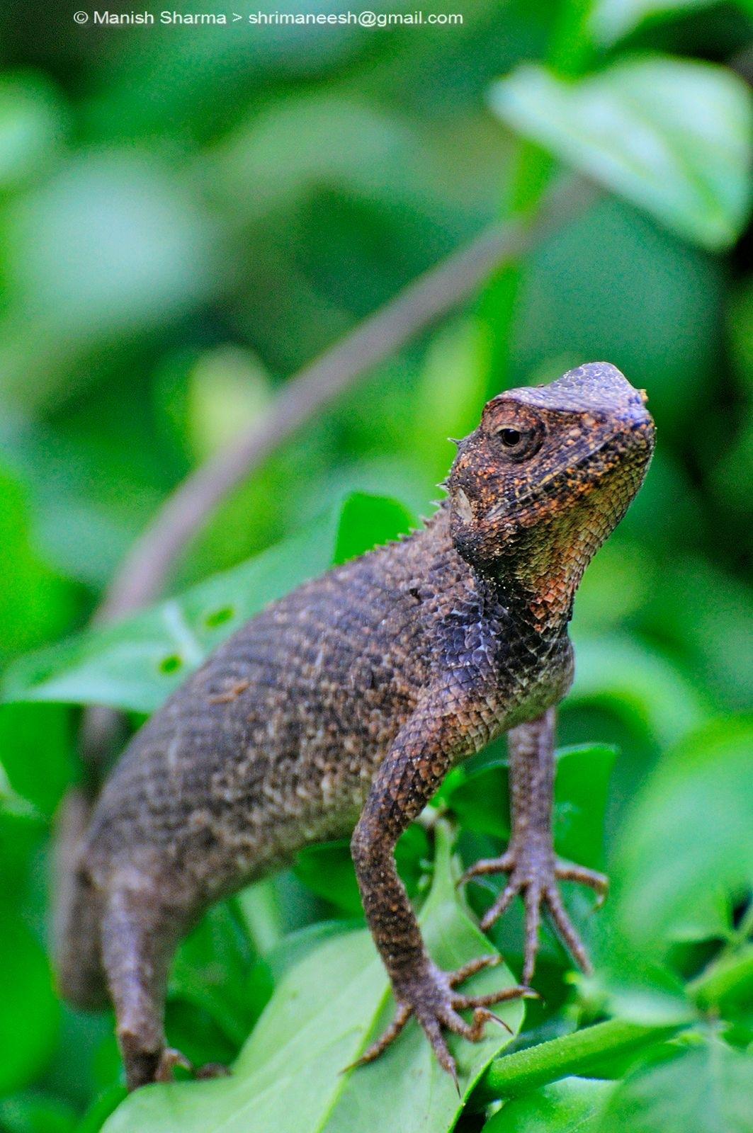 Oriental Garden Lizard...Scientific name: Calotes versicolor by Maneesh Sharma
