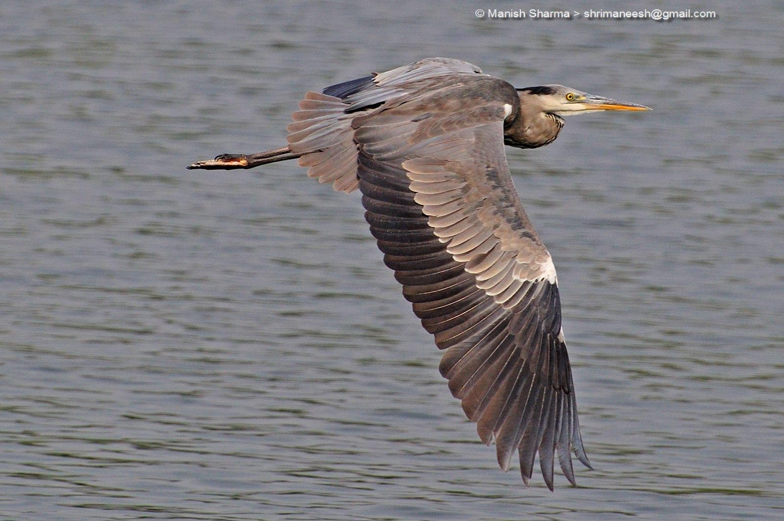 Grey Heron...Scientific name: Ardea cinerea by Maneesh Sharma