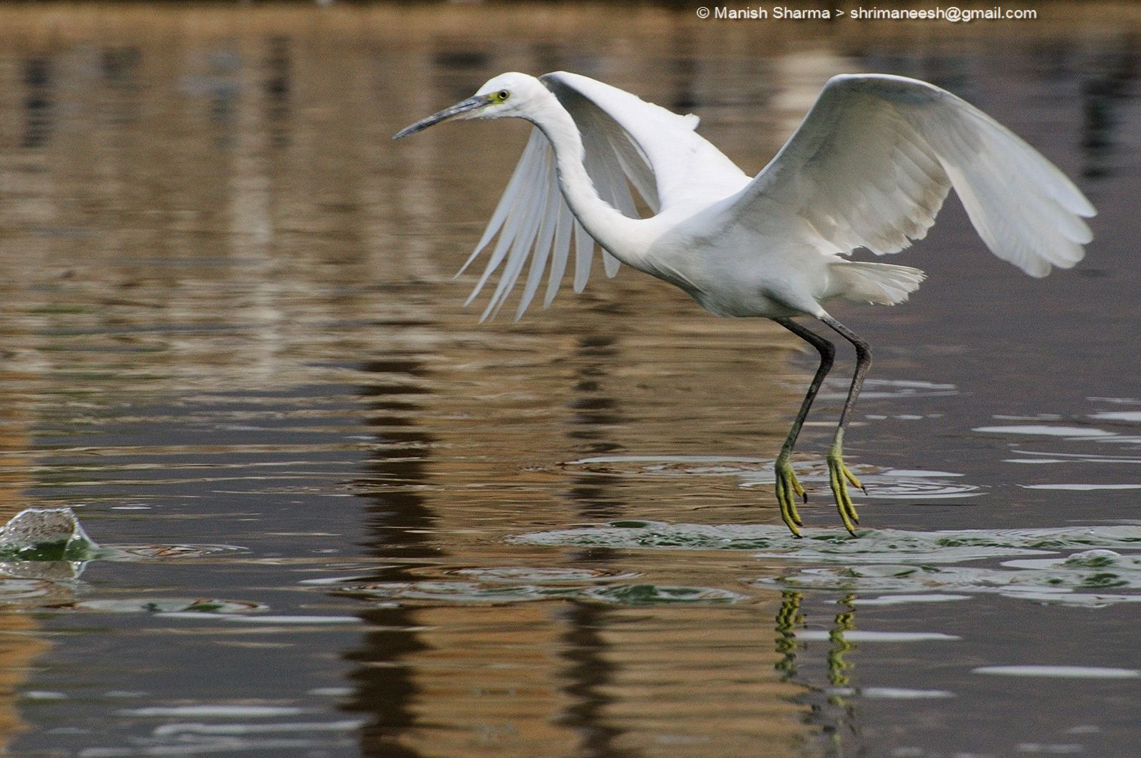 Little Egret...Scientific name: Egretta garzetta by Maneesh Sharma