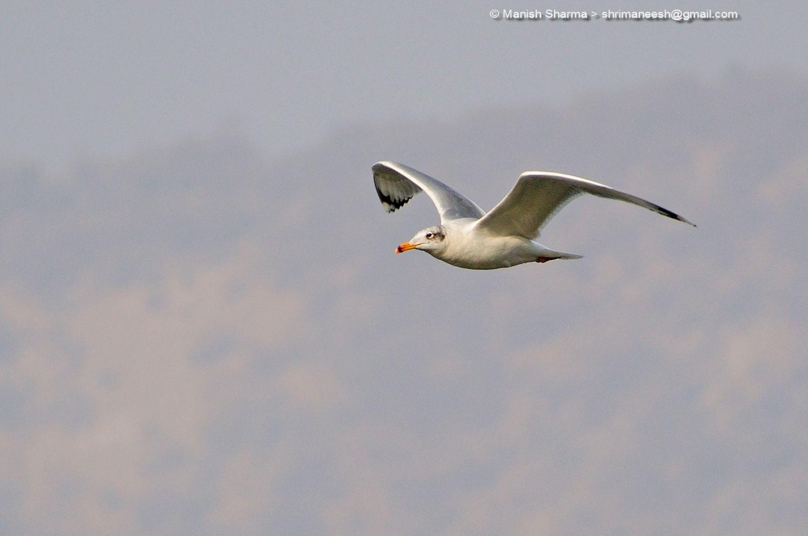 Black headed gull....Scientific name: Chroicocephalus ridibundus by Maneesh Sharma