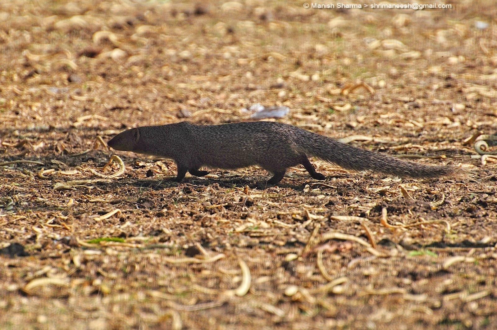 Mongoose...Scientific name: Herpestidae by Maneesh Sharma