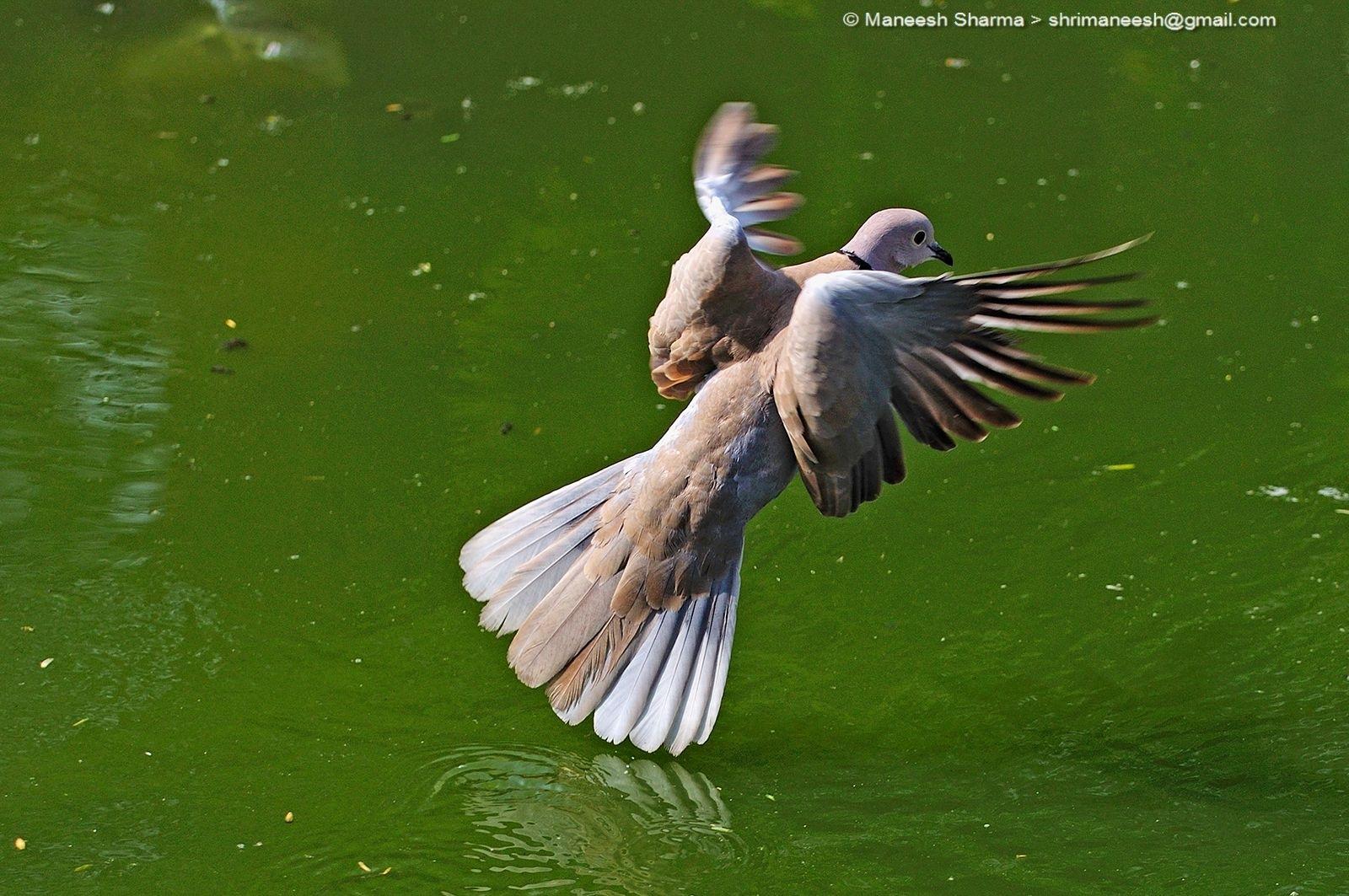 Eurasian collared dove....Scientific name: Streptopelia decaocto by Maneesh Sharma