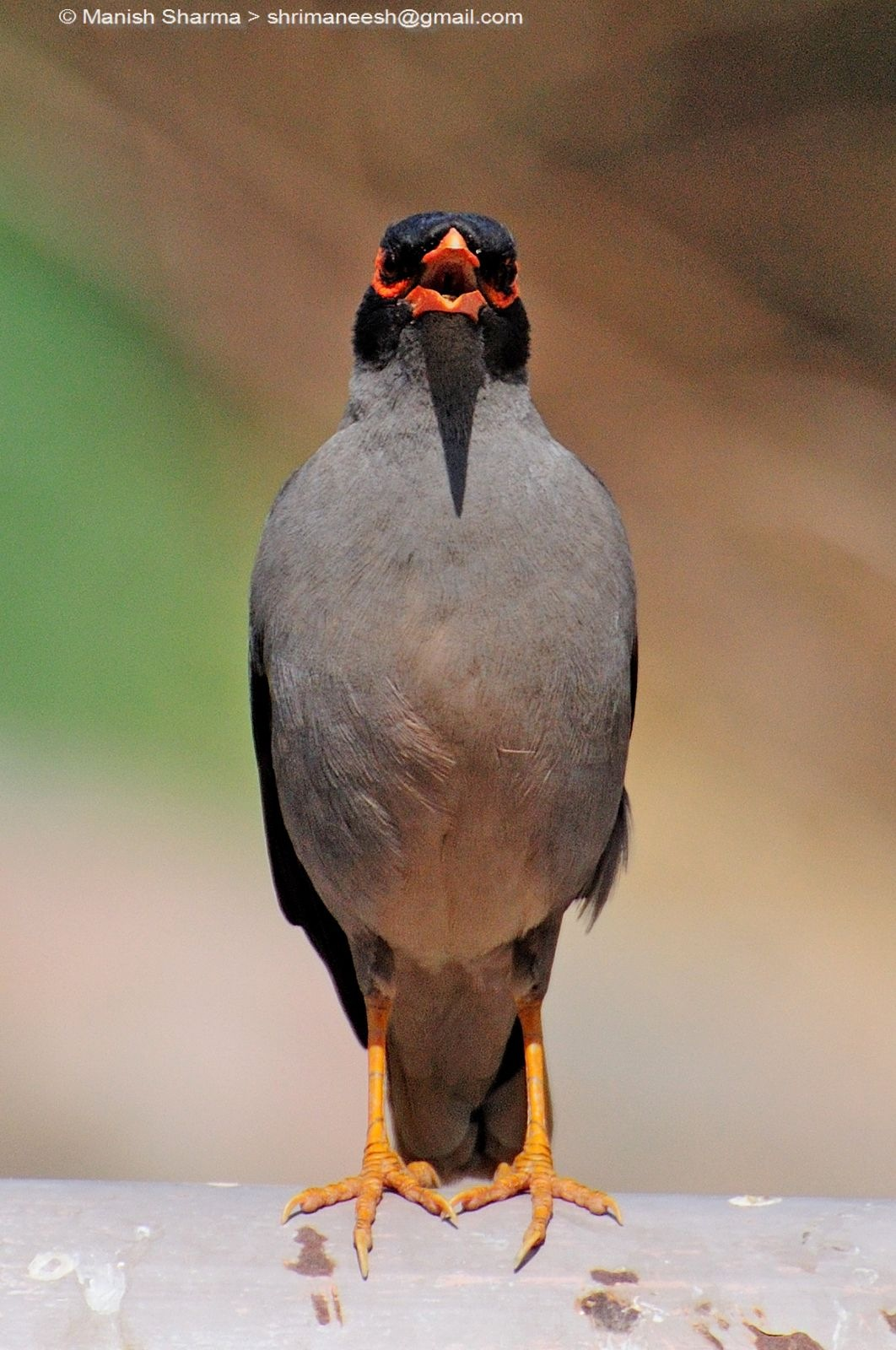 Bank myna...Scientific name: Acridotheres ginginianus by Maneesh Sharma