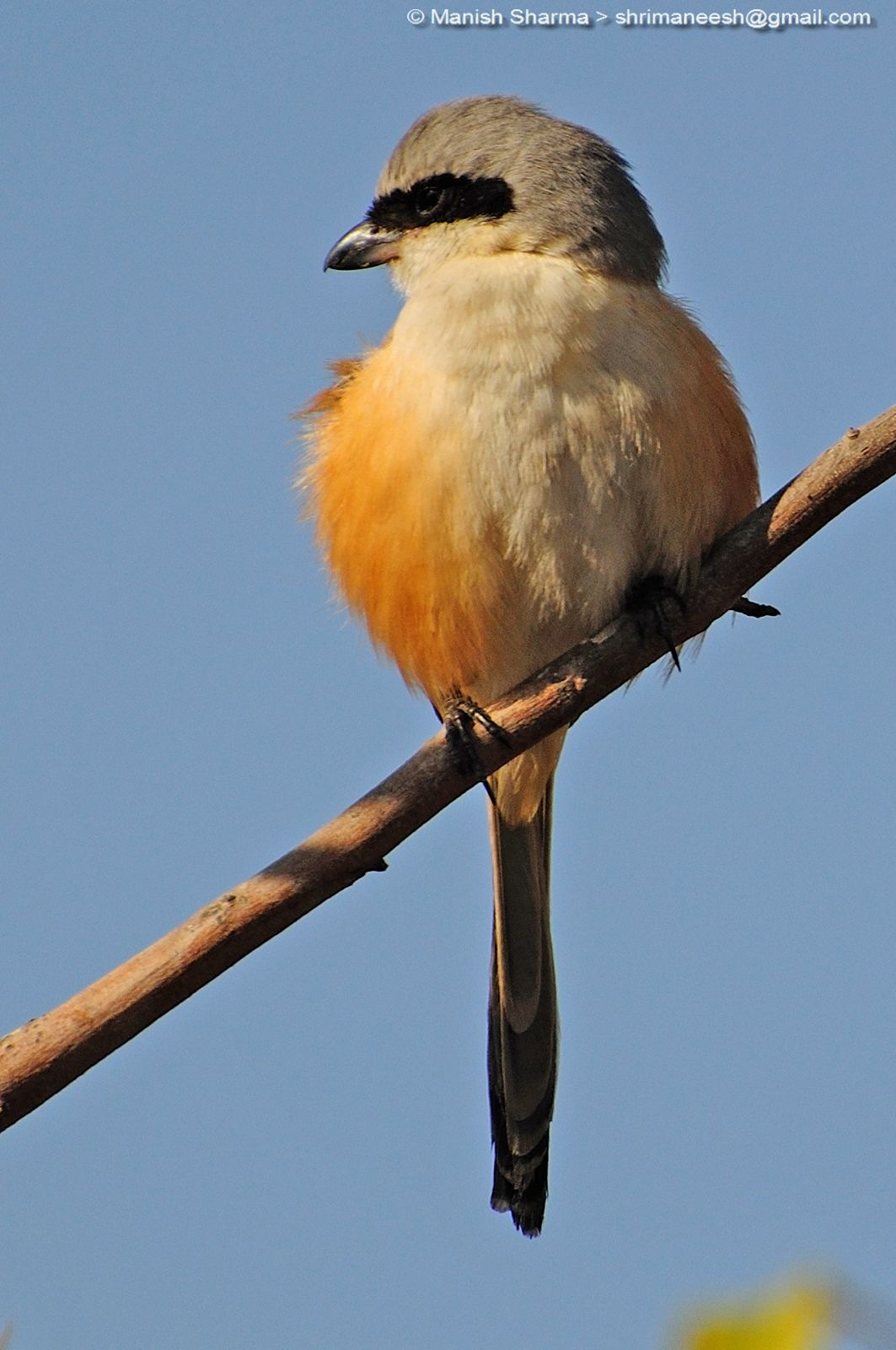 Long-tailed shrike...Scientific name: Lanius schach by Maneesh Sharma