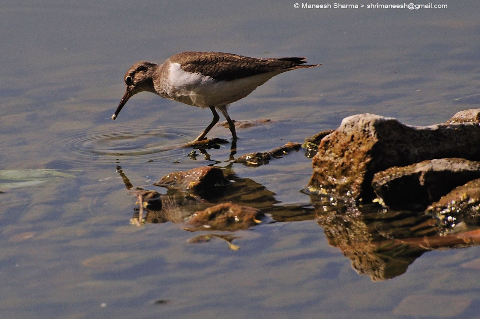 Common sandpiper...Scientific name: Actitis hypoleucos by Maneesh Sharma