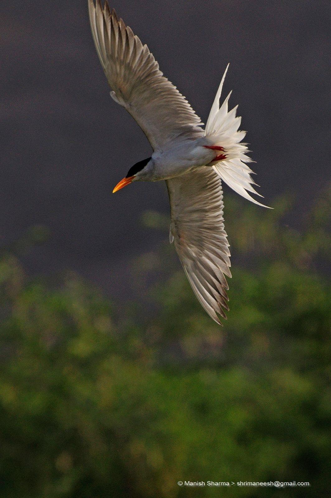 River tern ...Scientific name: Sterna aurantia  by Maneesh Sharma