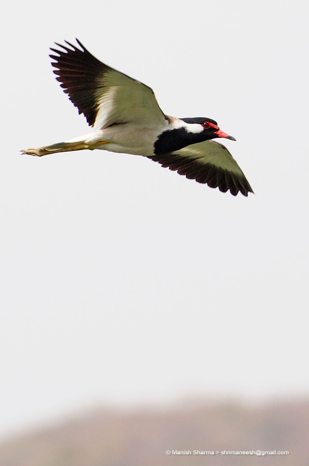 Red Wattled Lapwing...Scientific name: Vanellus indicus by Maneesh Sharma