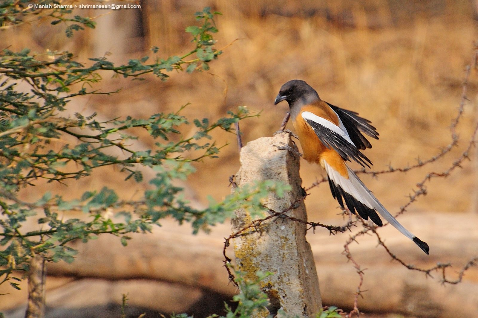 Rufous Treepie....Scientific name: Dendrocitta vagabunda by Maneesh Sharma