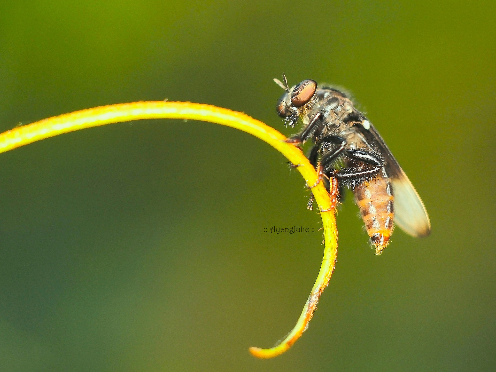 Asilidae the robber fly by Ayang Julieana Mohamed