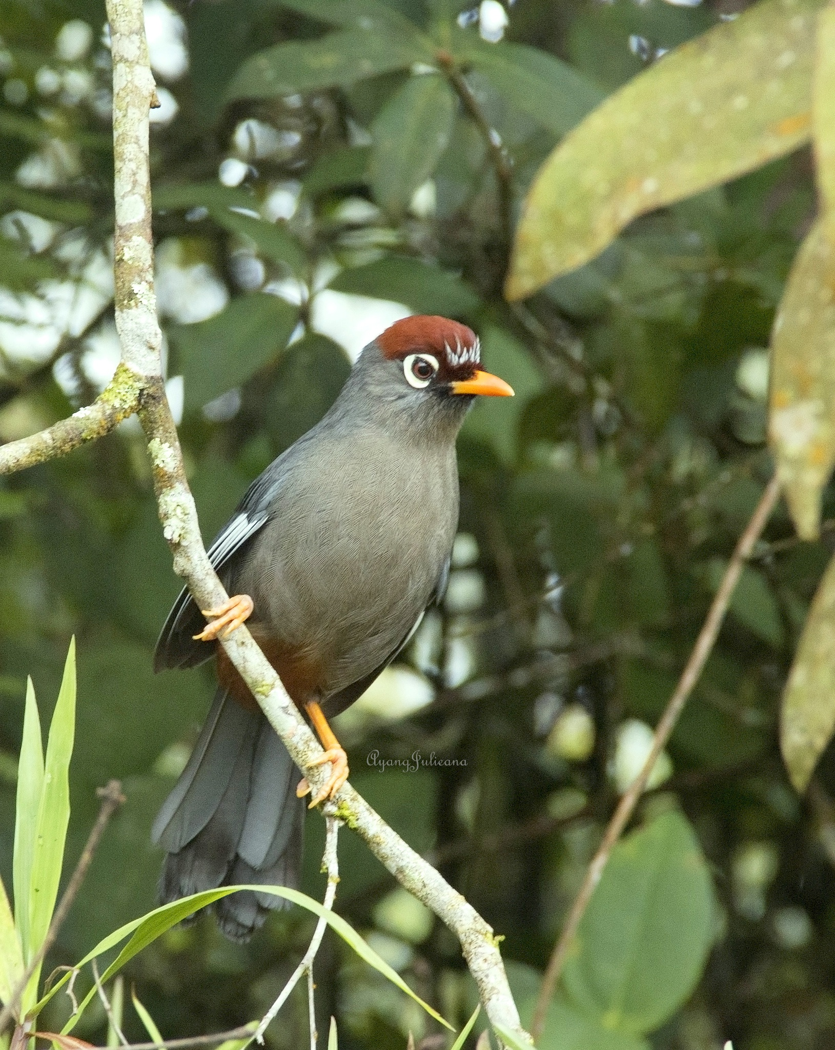 Chestnut-capped Laughingthrush (Gaulurax mitratus) by Ayang Julieana Mohamed