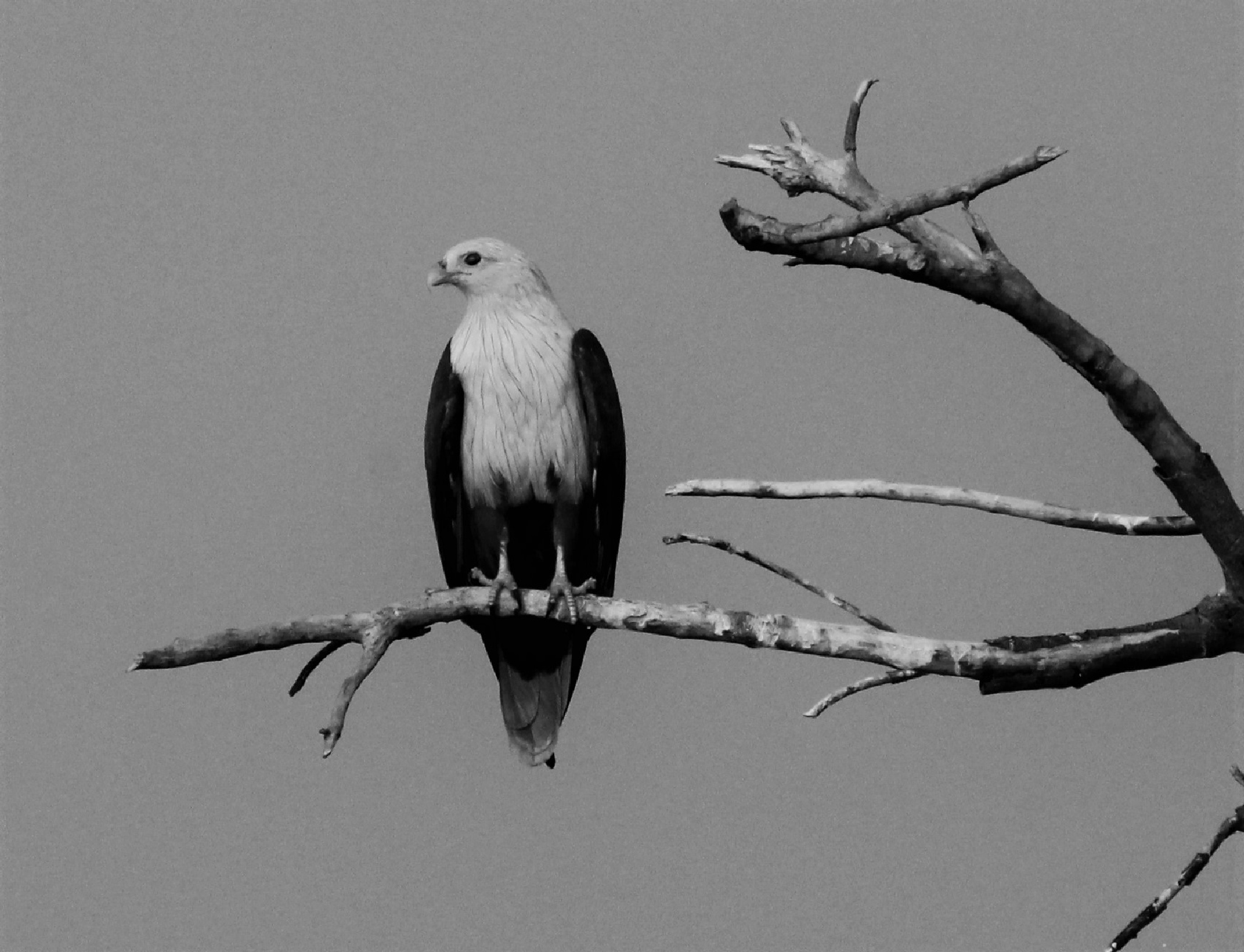 Brahminy Kite, Monochrome by Sanjay Sinhasane