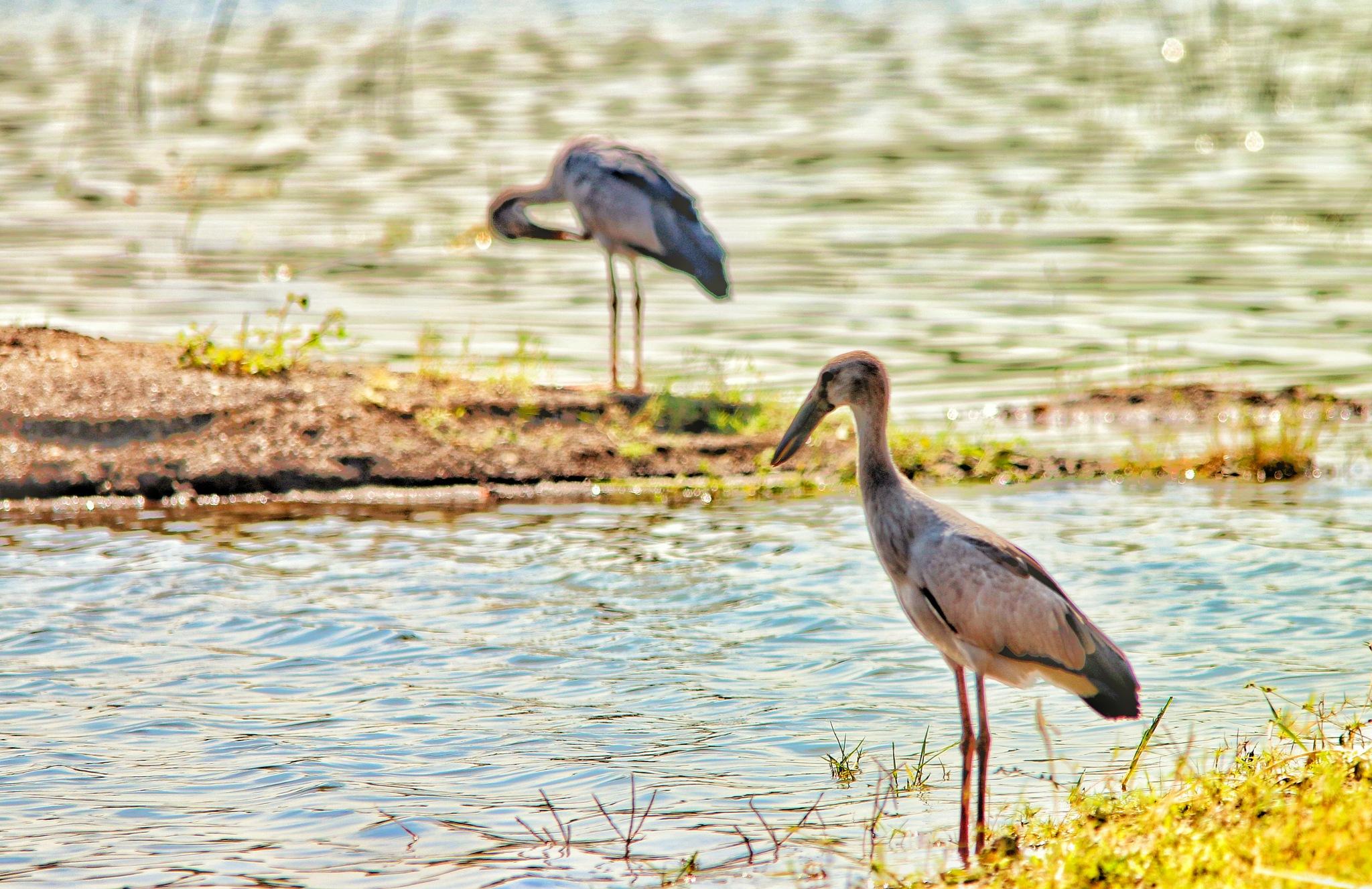 Stork.. by Sanjay Sinhasane
