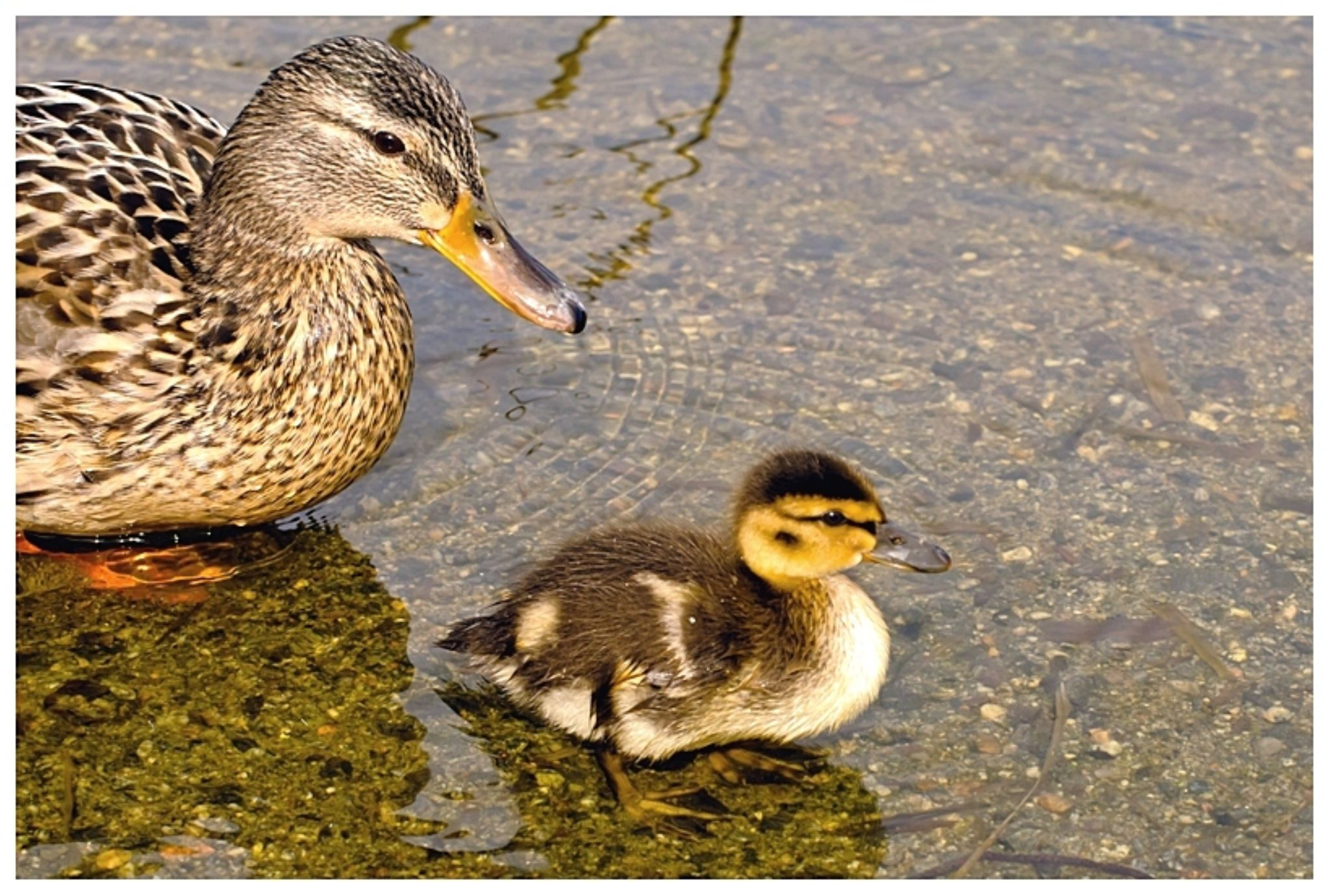 Mother duck and duckling by Elisabeth Garberg