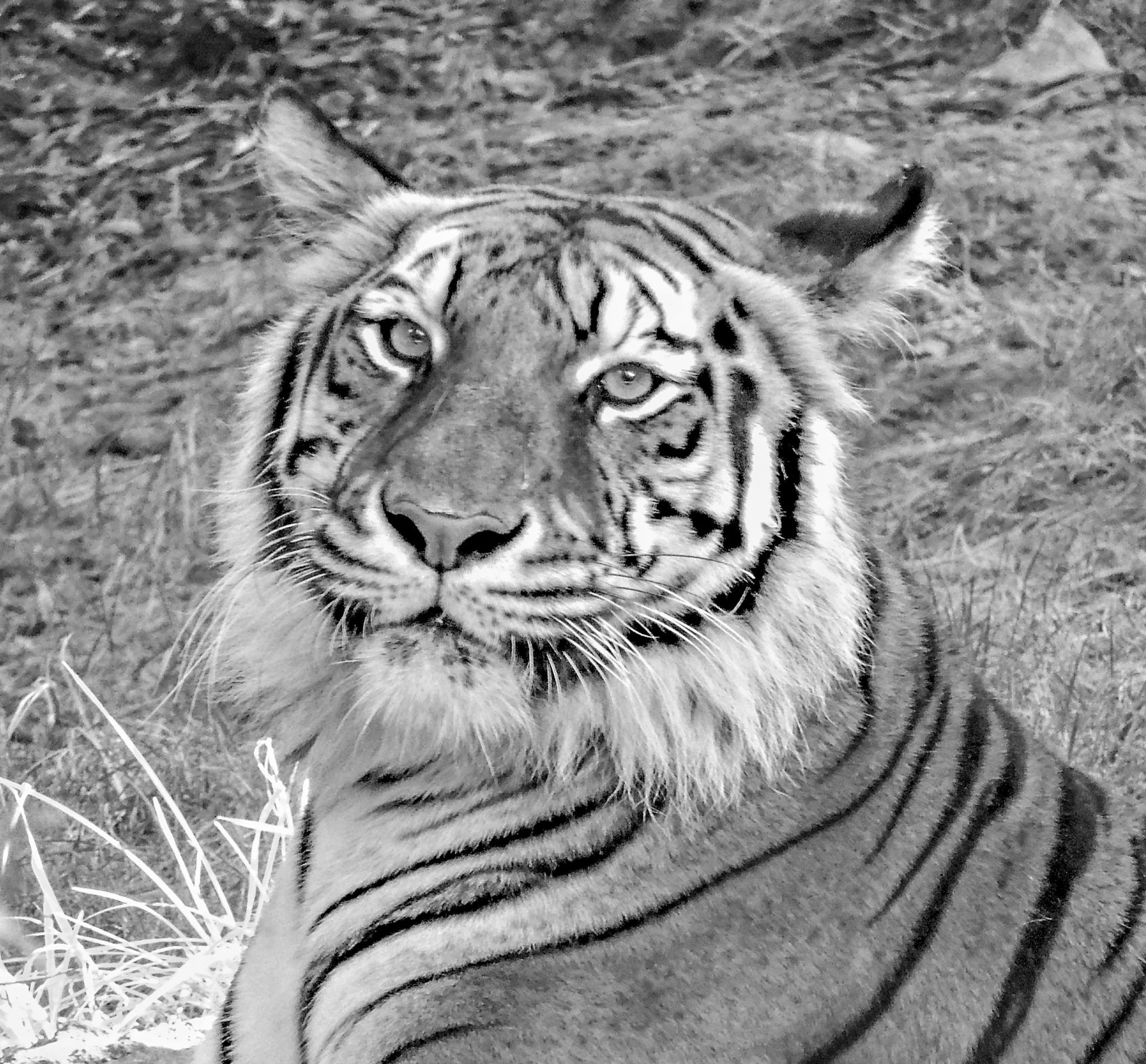 Black and White Tiger by jenmcwhirt