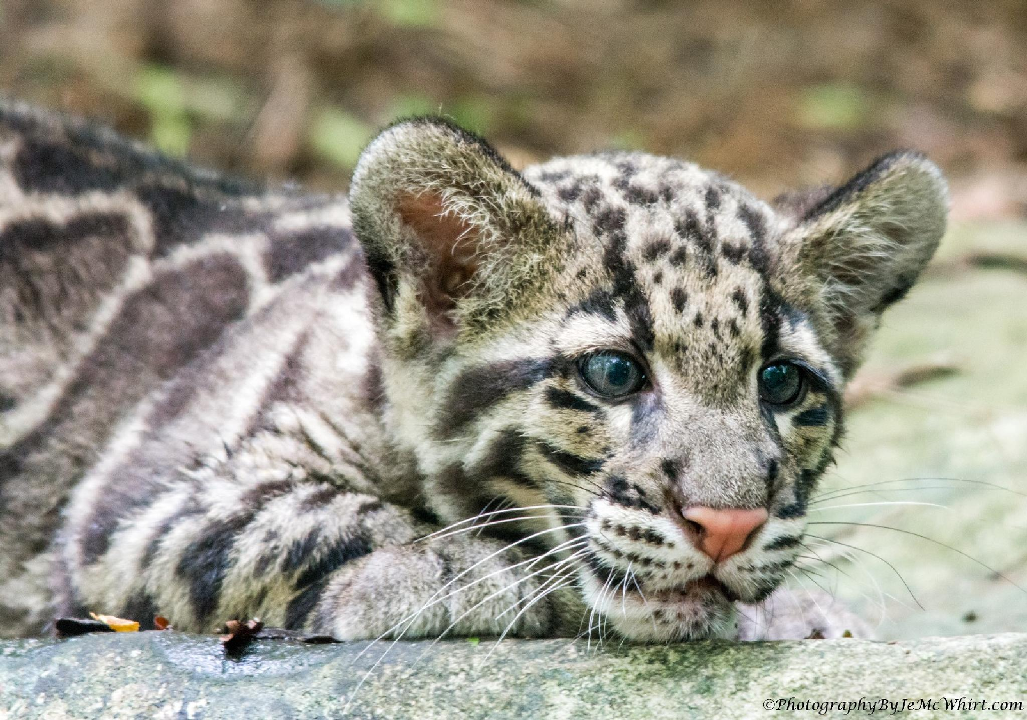 Tired Clouded Leopard Cub by jenmcwhirt