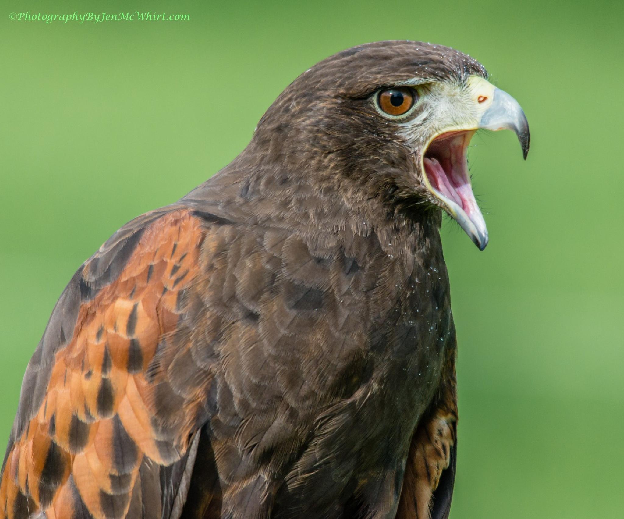 Harris's Hawk Scream by jenmcwhirt