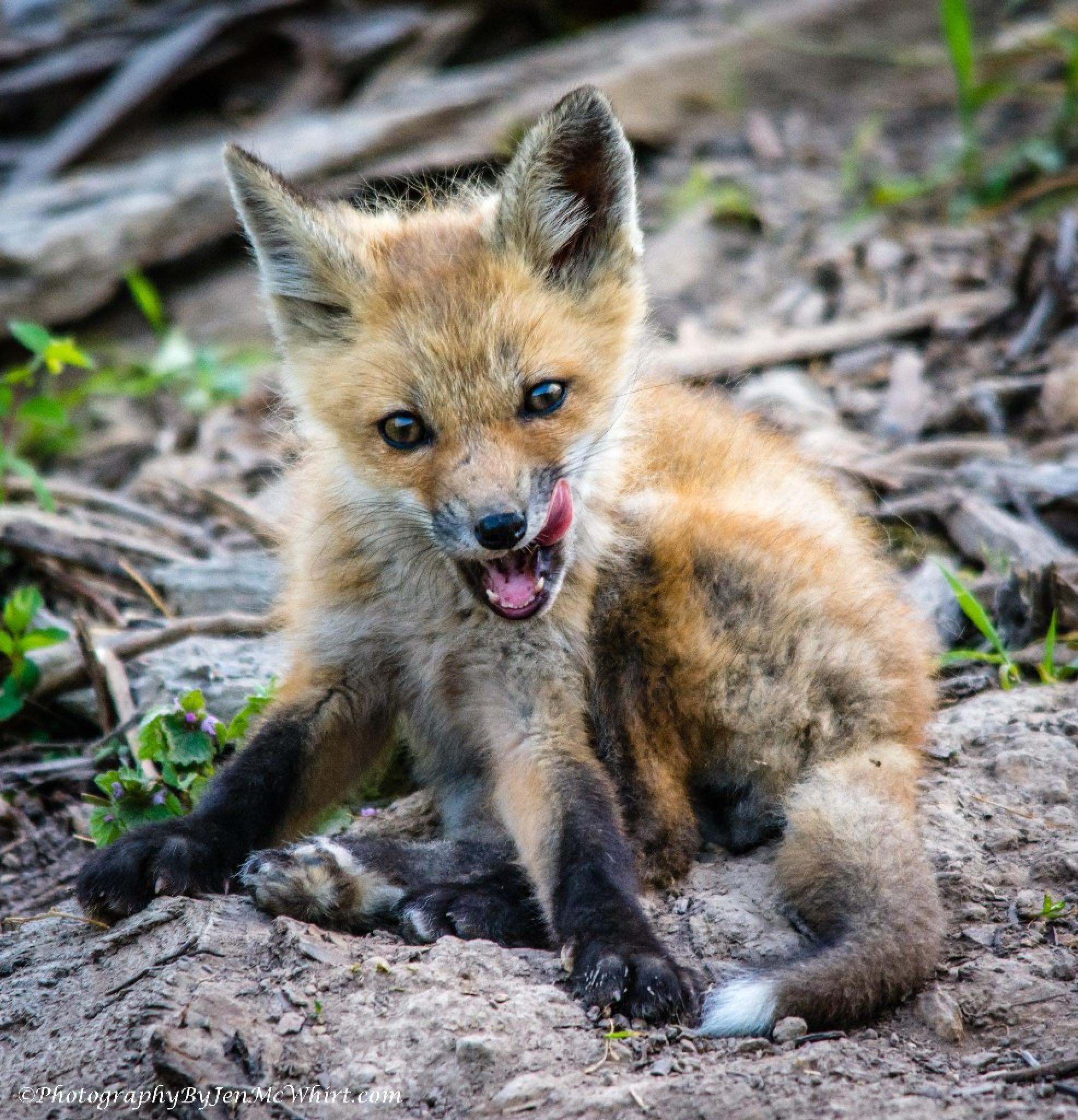 Photo in Animal #fox kit #baby animals #wildlife #mammals #tennessee #nikon #sigma