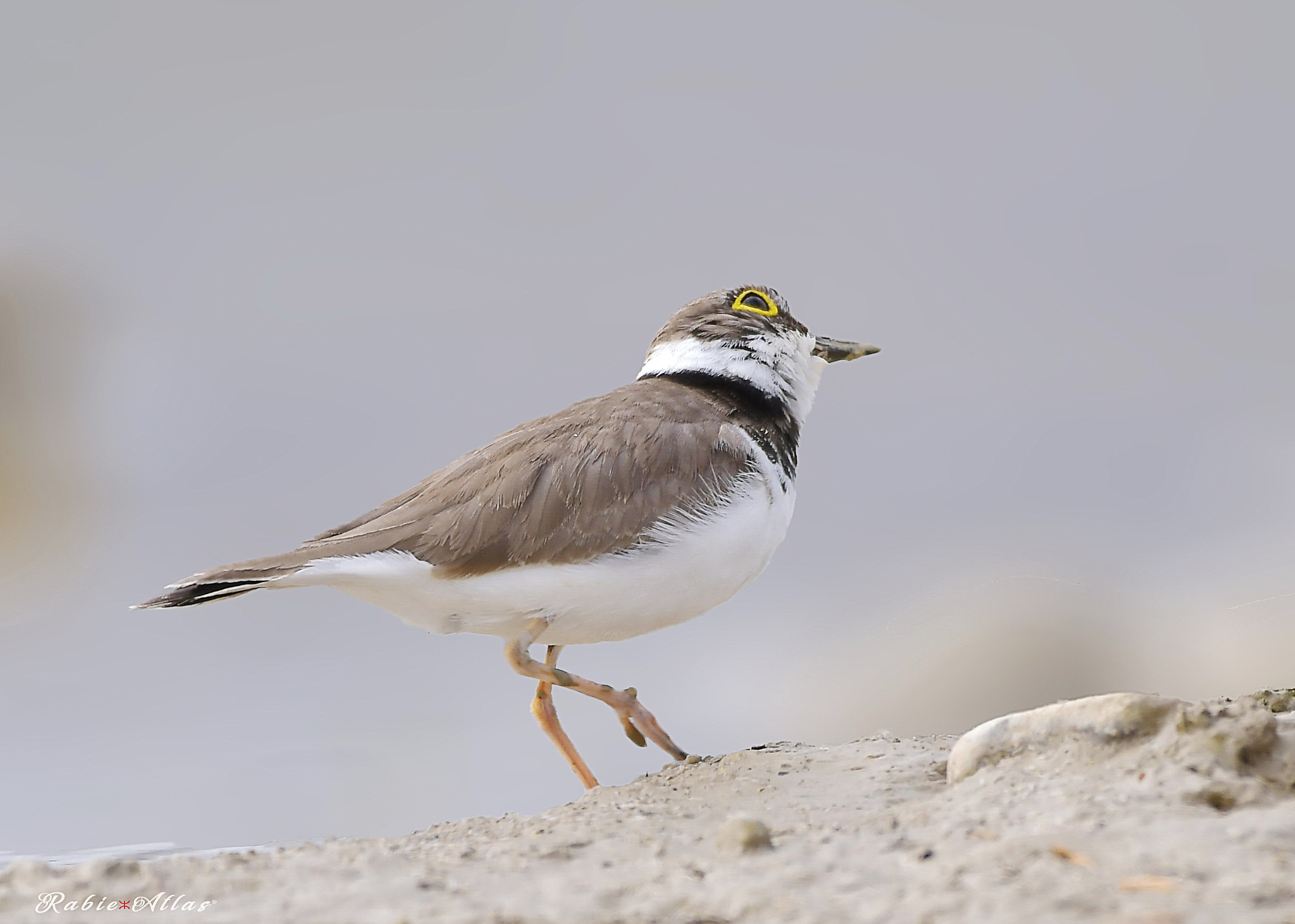 Little ringed plover by Rabie Atlas