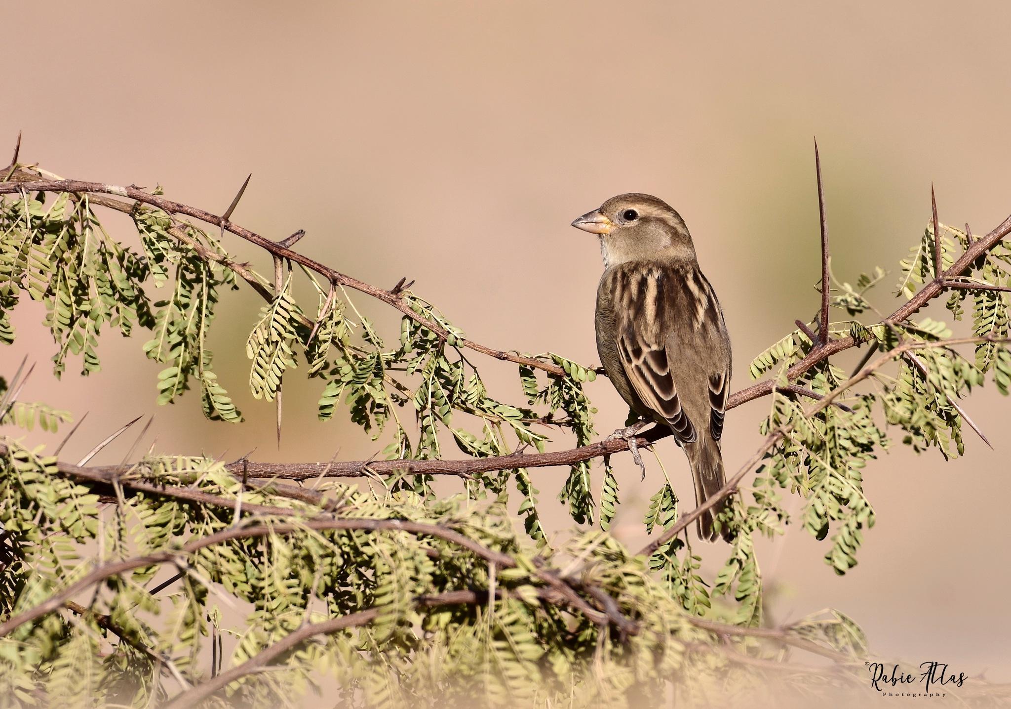 sparrow by Rabie Atlas