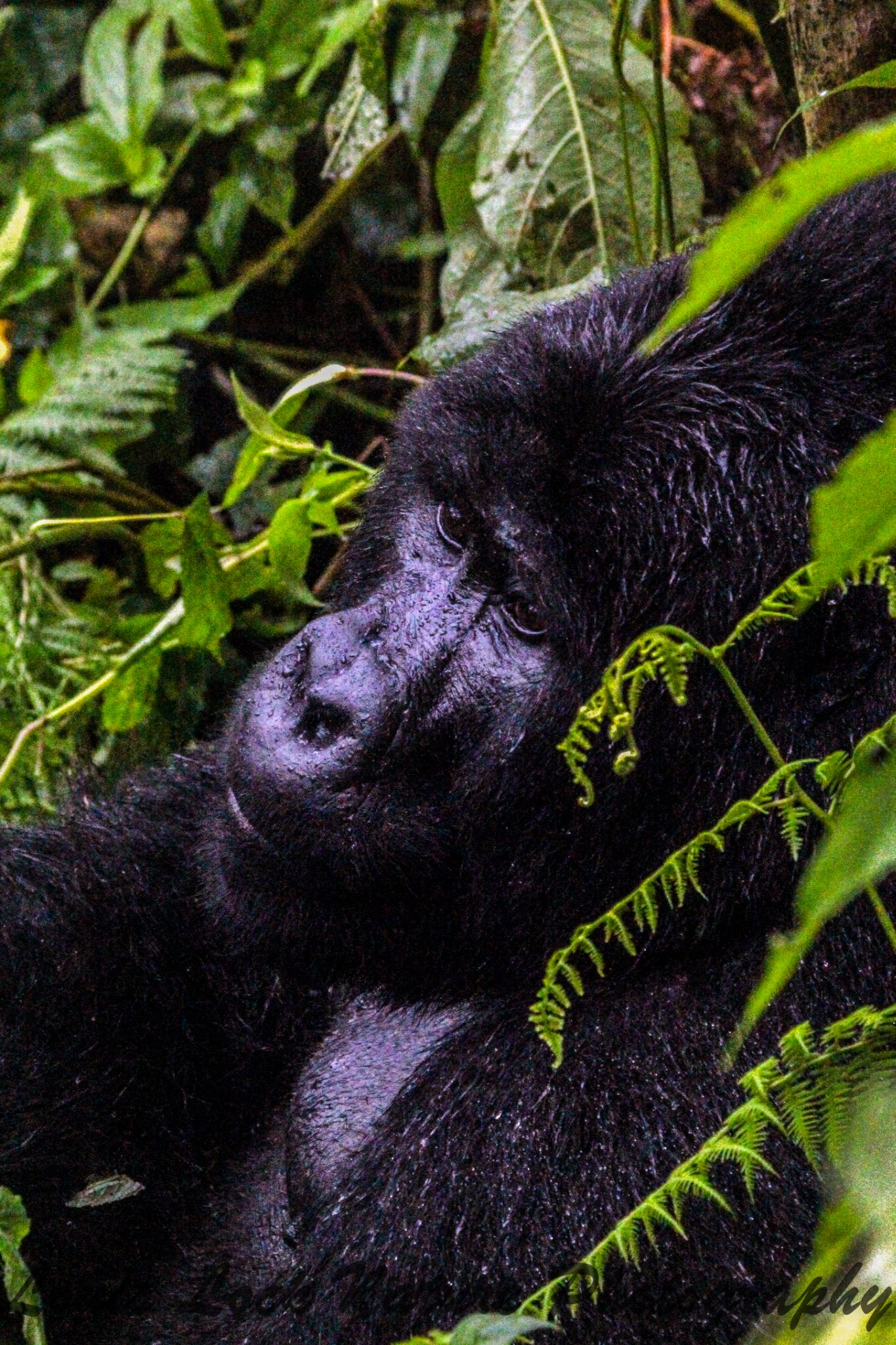 Gorilla in the forest by Louis Lock