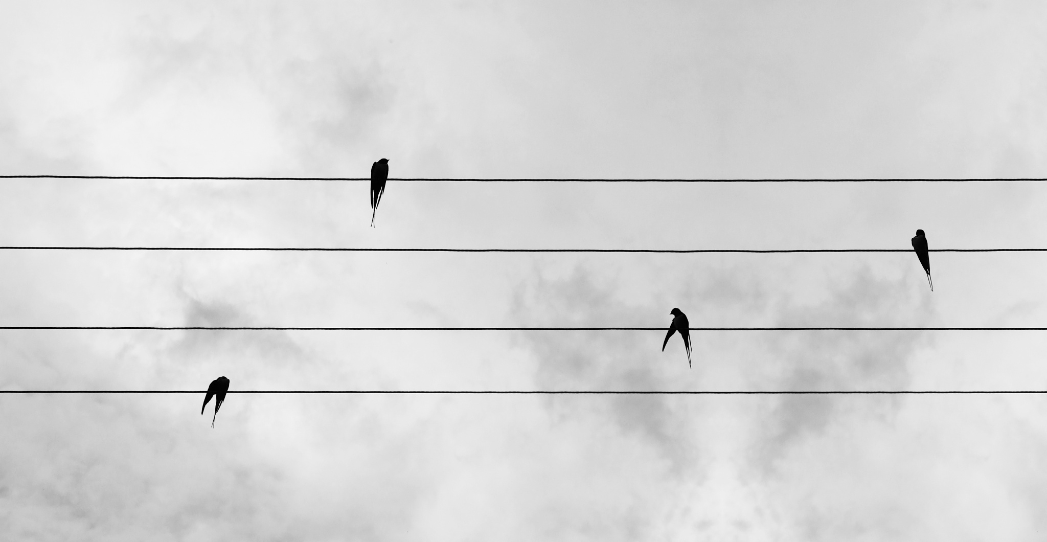 Photo in Animal #swallow #swallows #wire #wires #bird #animal #sky #cloud #clouds #black #white #photo