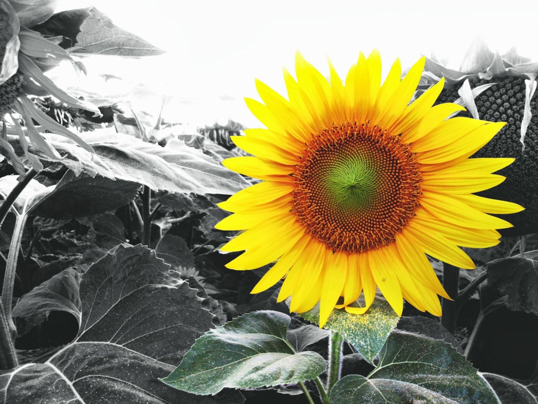 Sunflower by Josip Kos