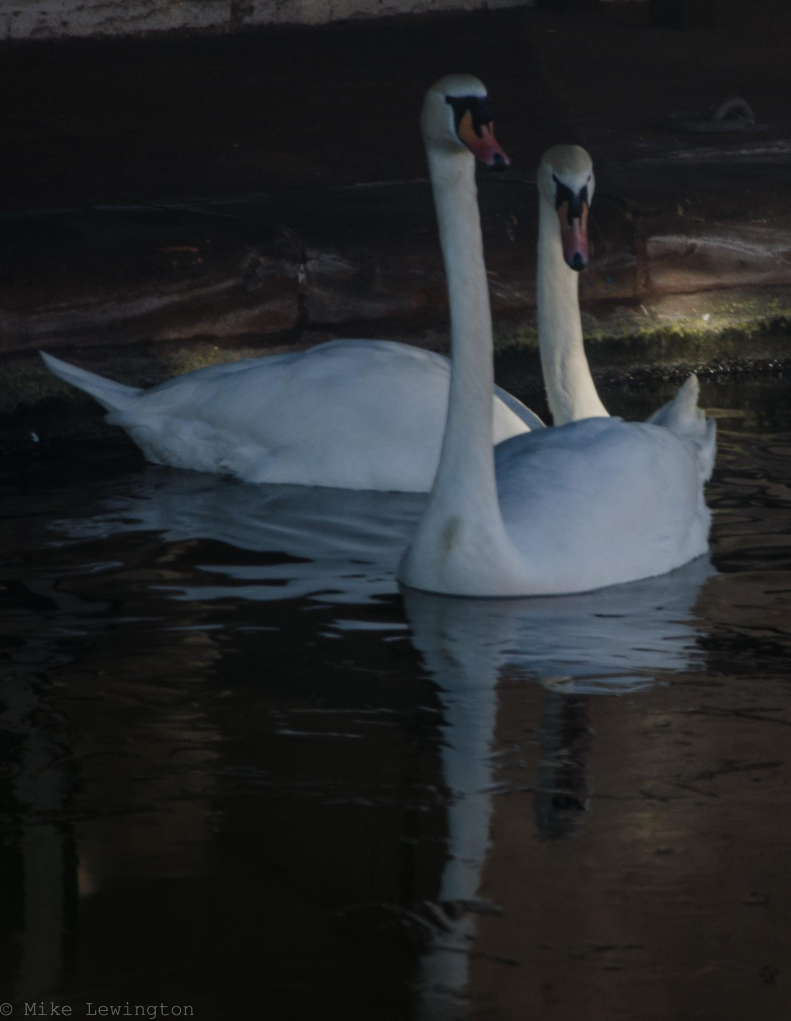 swans by Mike Lewington