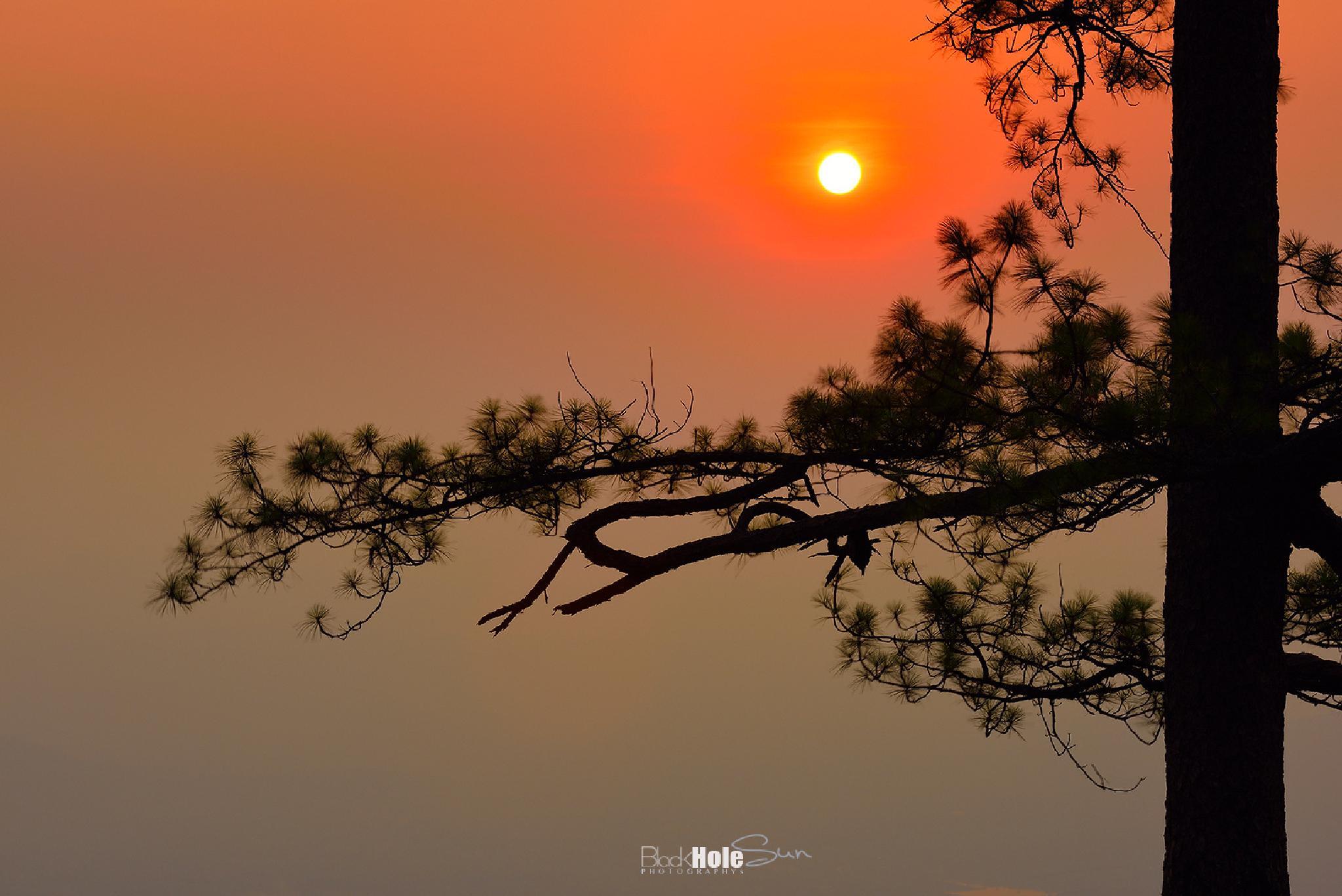 Silhouette of Pine by Phonlawatana Suksuwan
