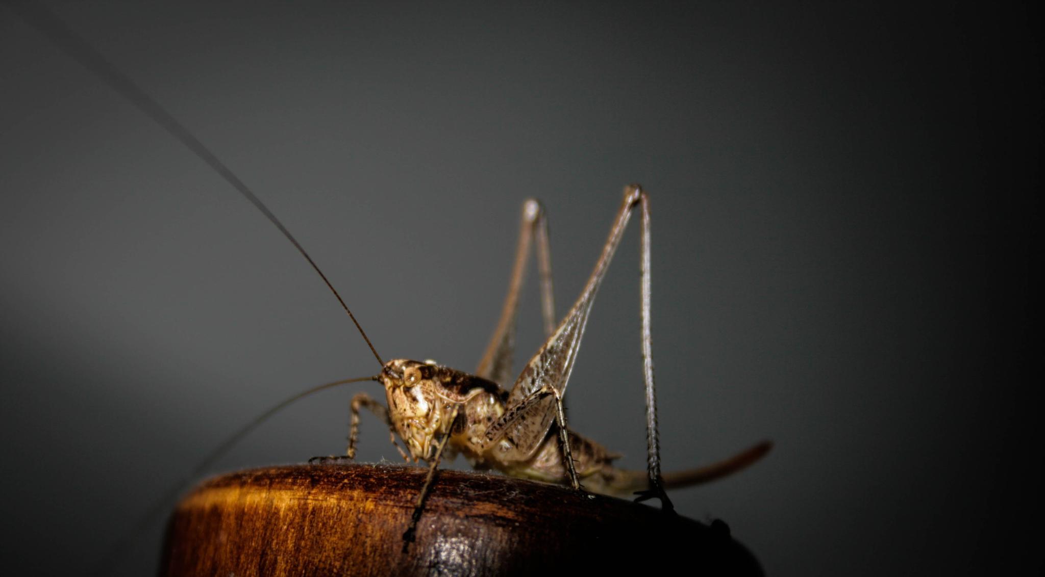 Cricket by Atanas Lenkov