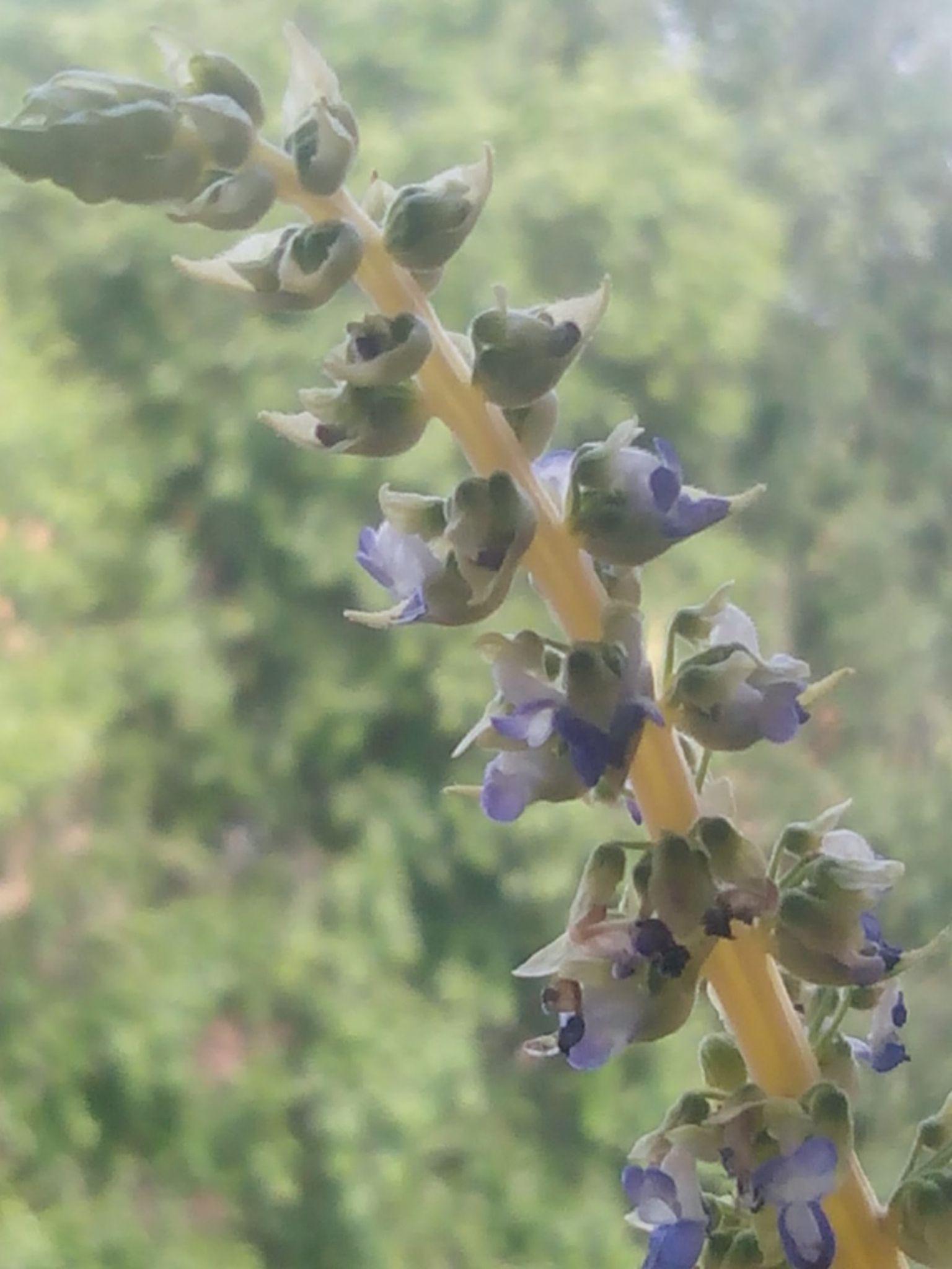 Flor de coleo by Elsa Da Silva Rocha