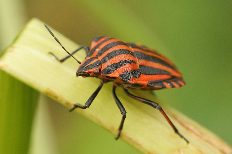 Graphosoma lineatum by Henk Wallays