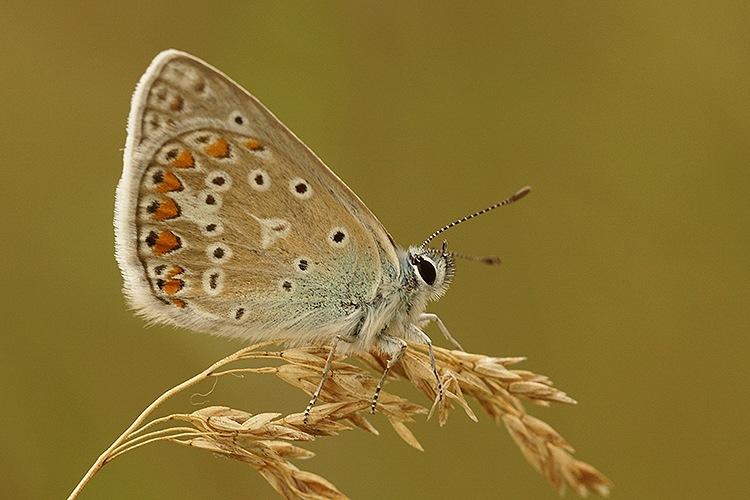 Icarus blue - Polyommatus icarus by Henk Wallays