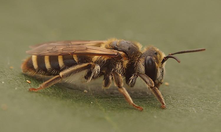 Andrena variabilis, female ? by Henk Wallays
