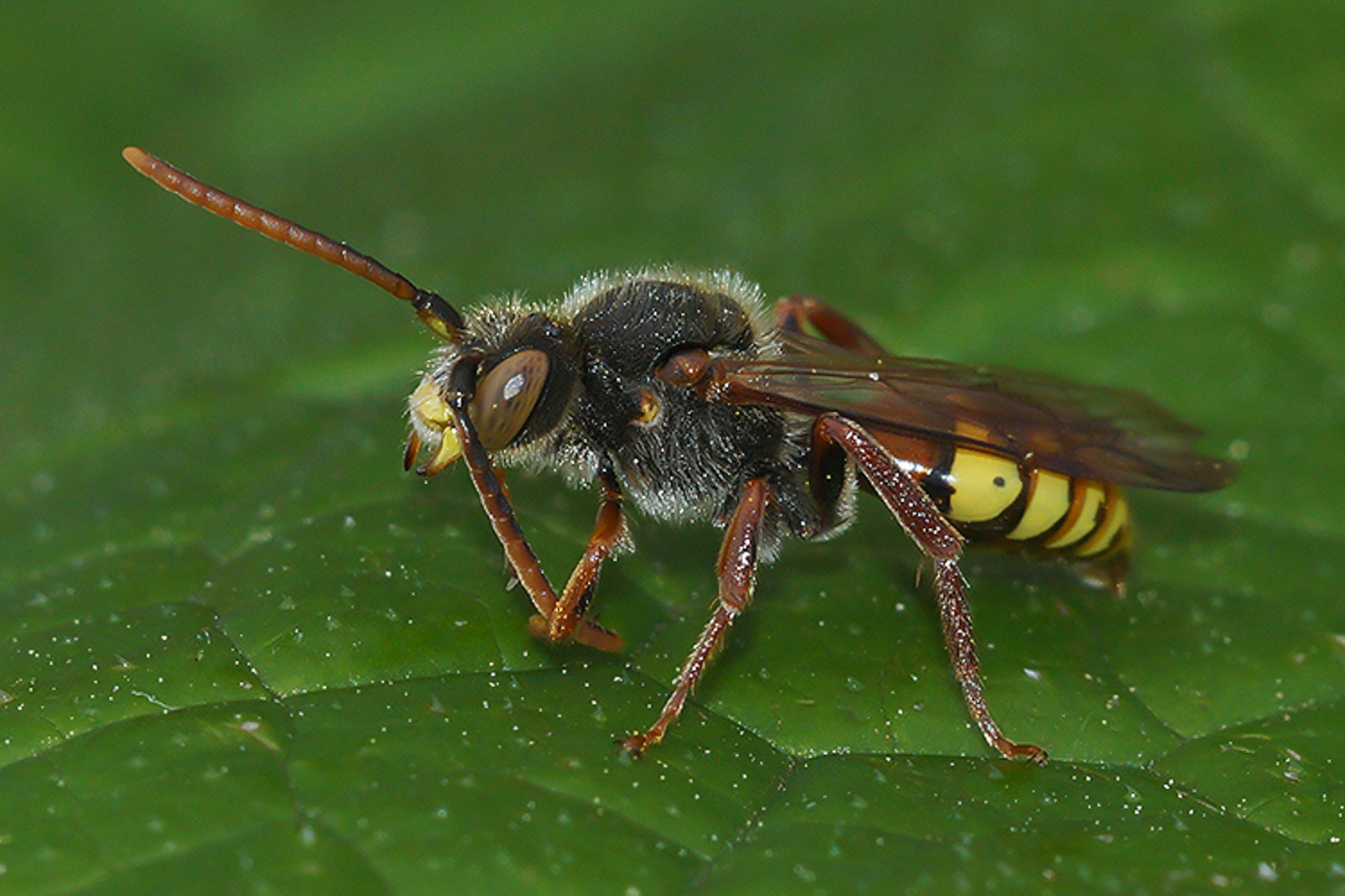 Nomada species, male by Henk Wallays