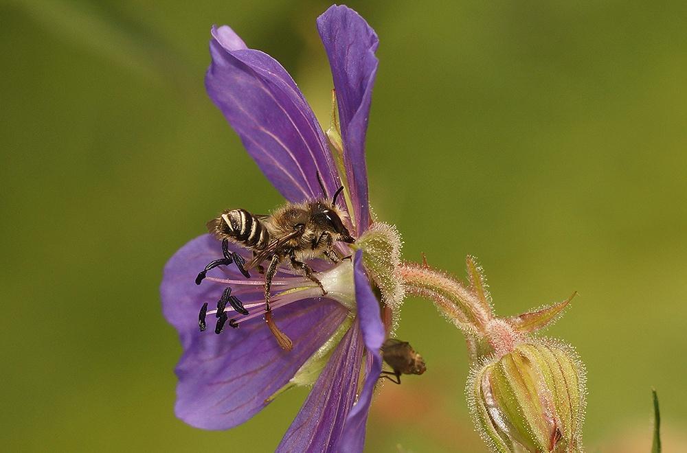 Tuinbehangersbij - Megachile centuncularis by Henk Wallays