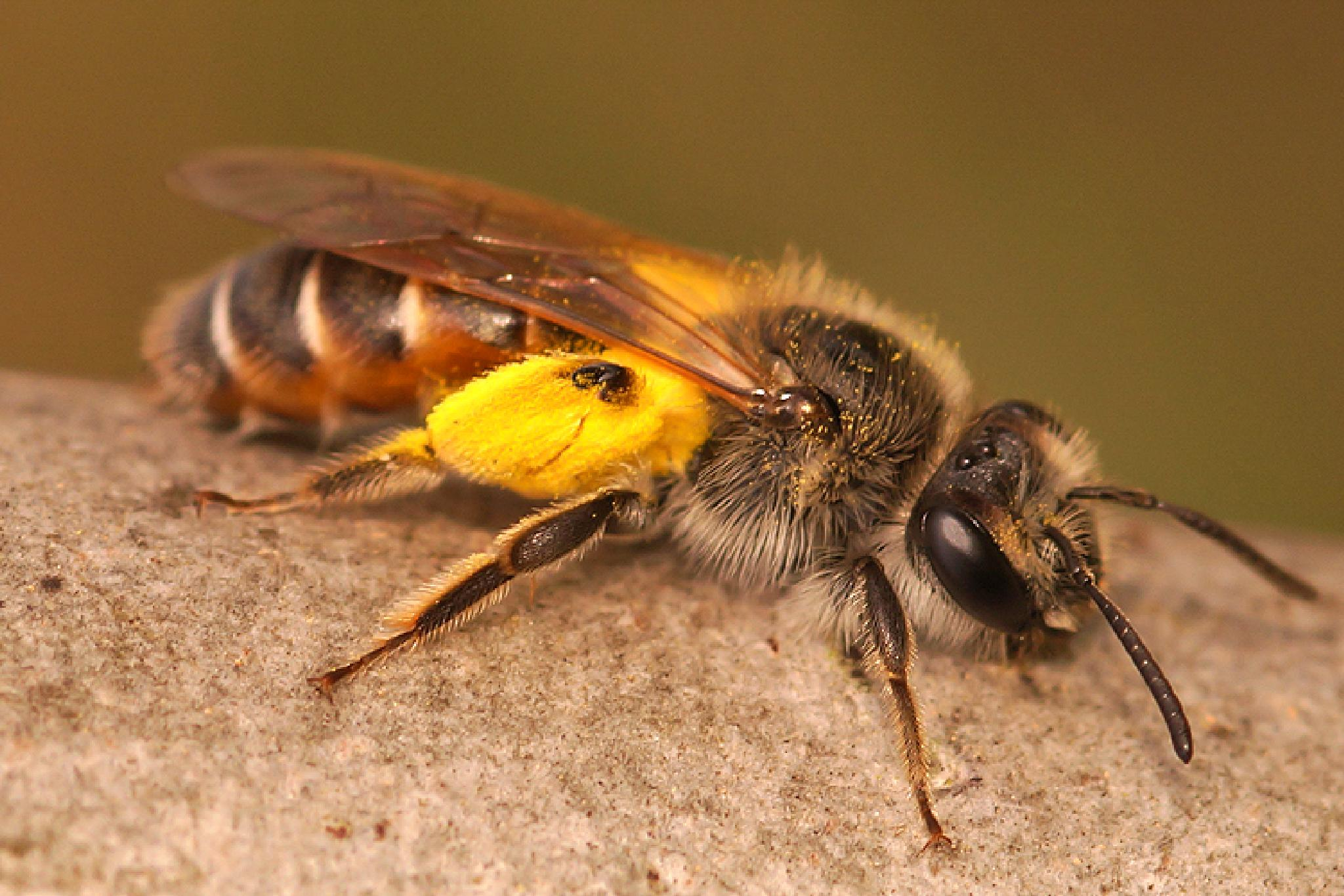 Andrena ventralis, female by Henk Wallays