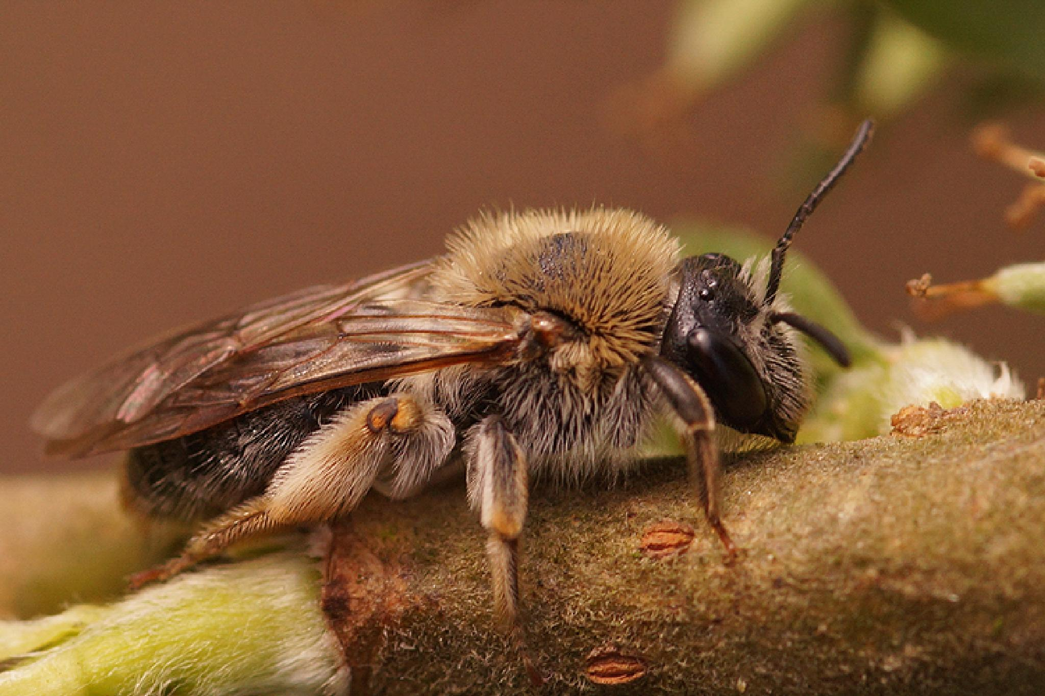 Andrena haemorrhoa by Henk Wallays