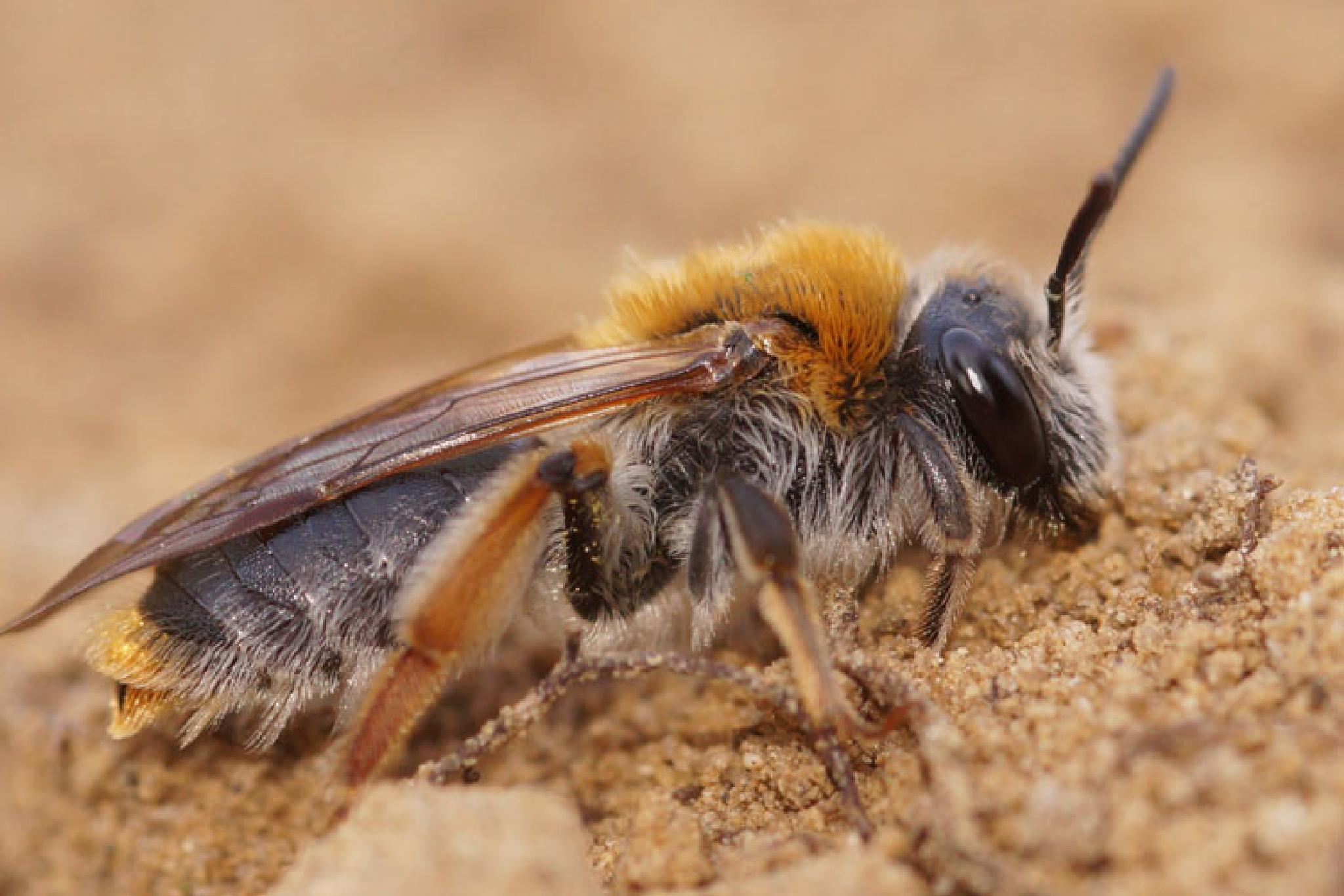 Andrena haemorrhoa, female by Henk Wallays