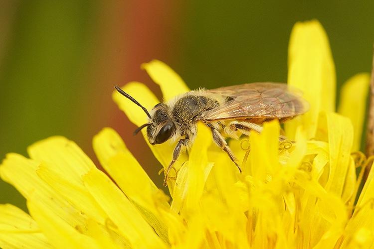 Andrena ventralis by Henk Wallays