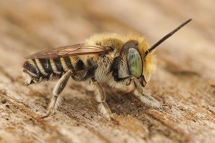 Rotsbehangersbij - Megachile cf. pilidens, Rousson  by Henk Wallays