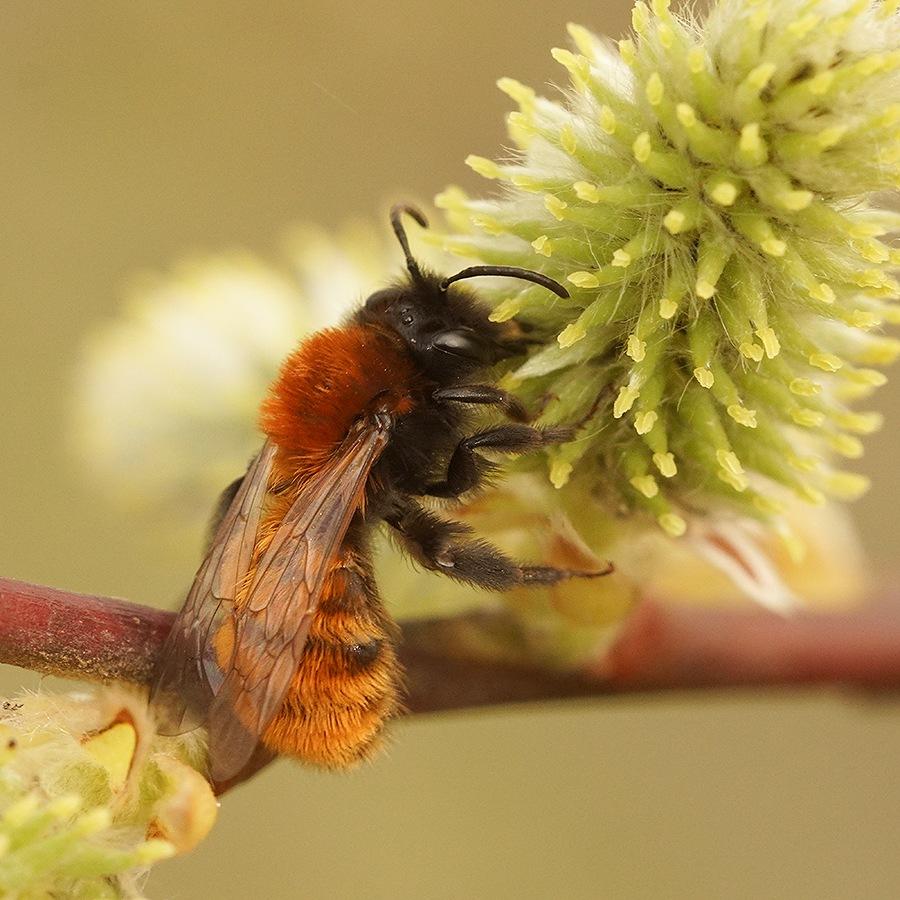 Andrena fulva , female on Salix caprea  by Henk Wallays